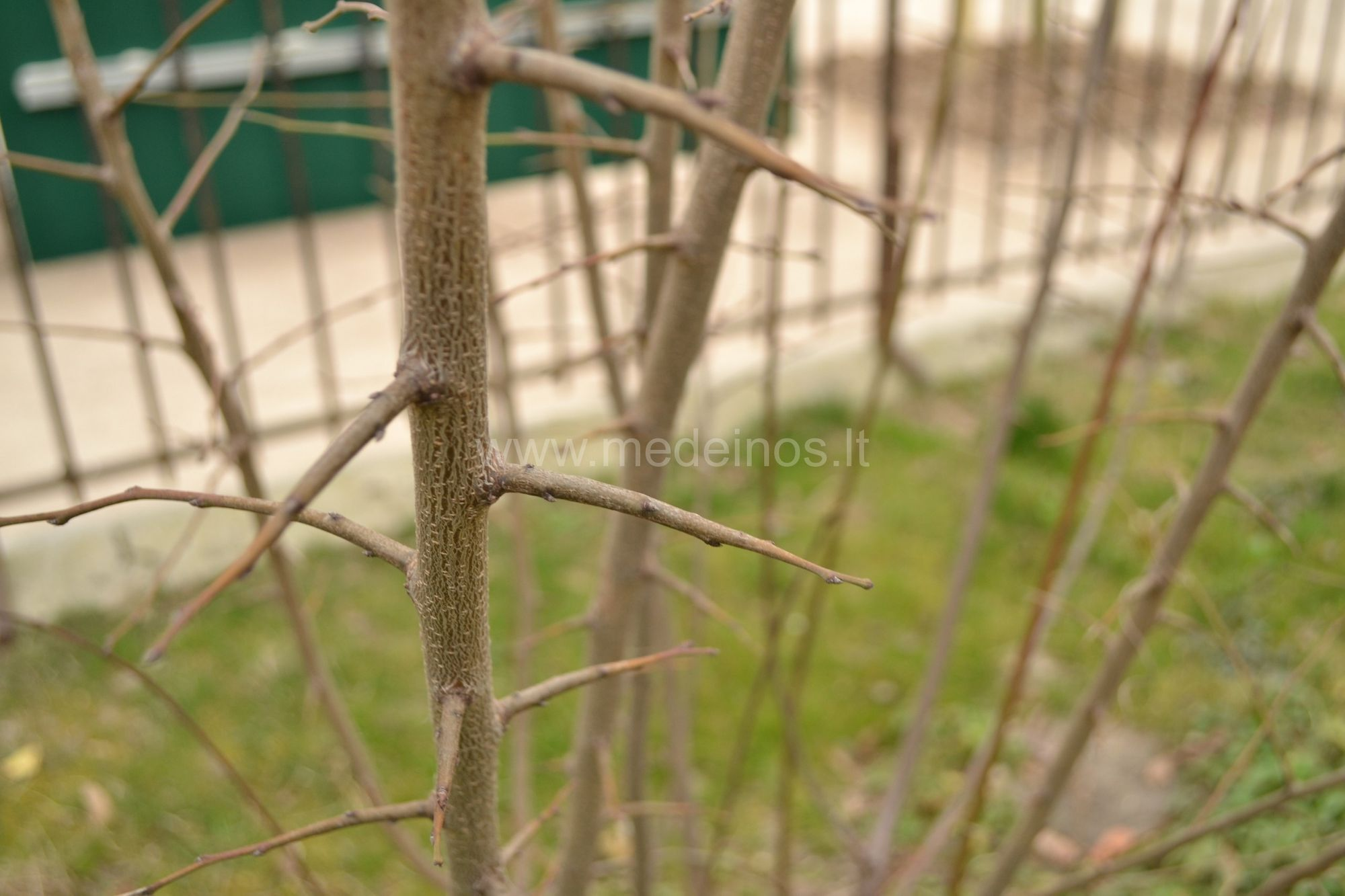 Brigantinis abrikosas (Prunus brigantina)