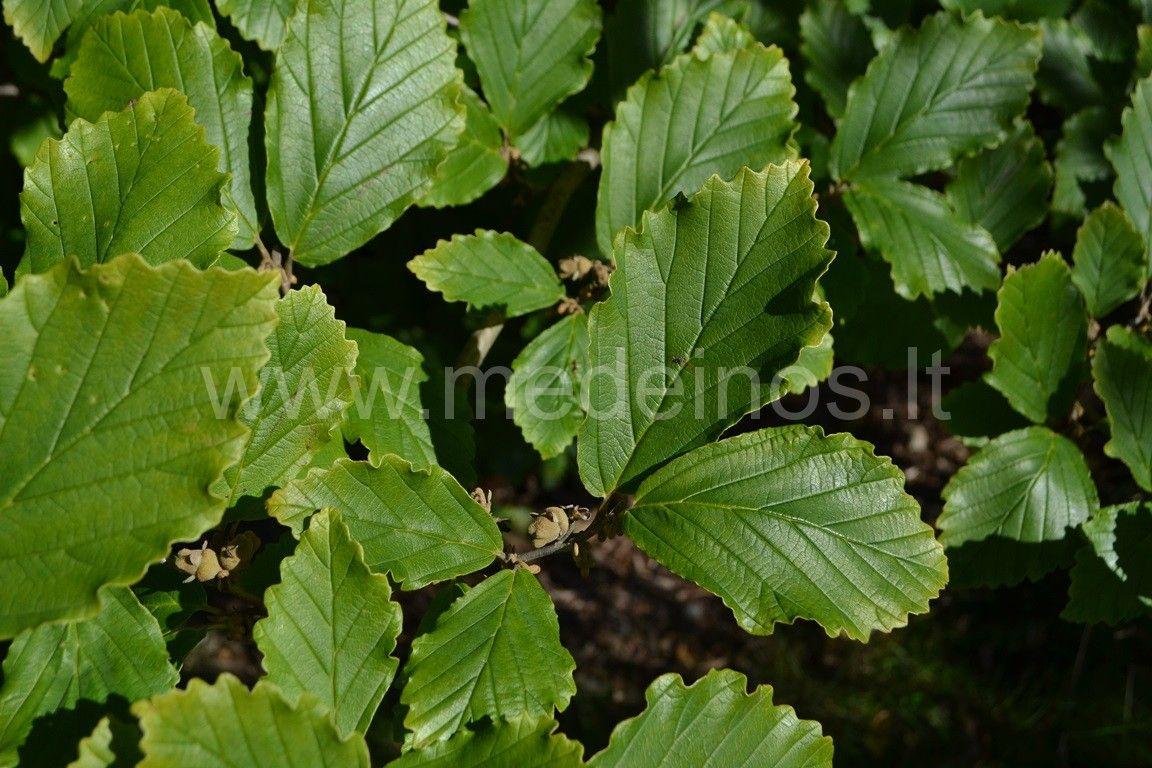 Pavasarinis hamamelis (Hamamelis vernalis)