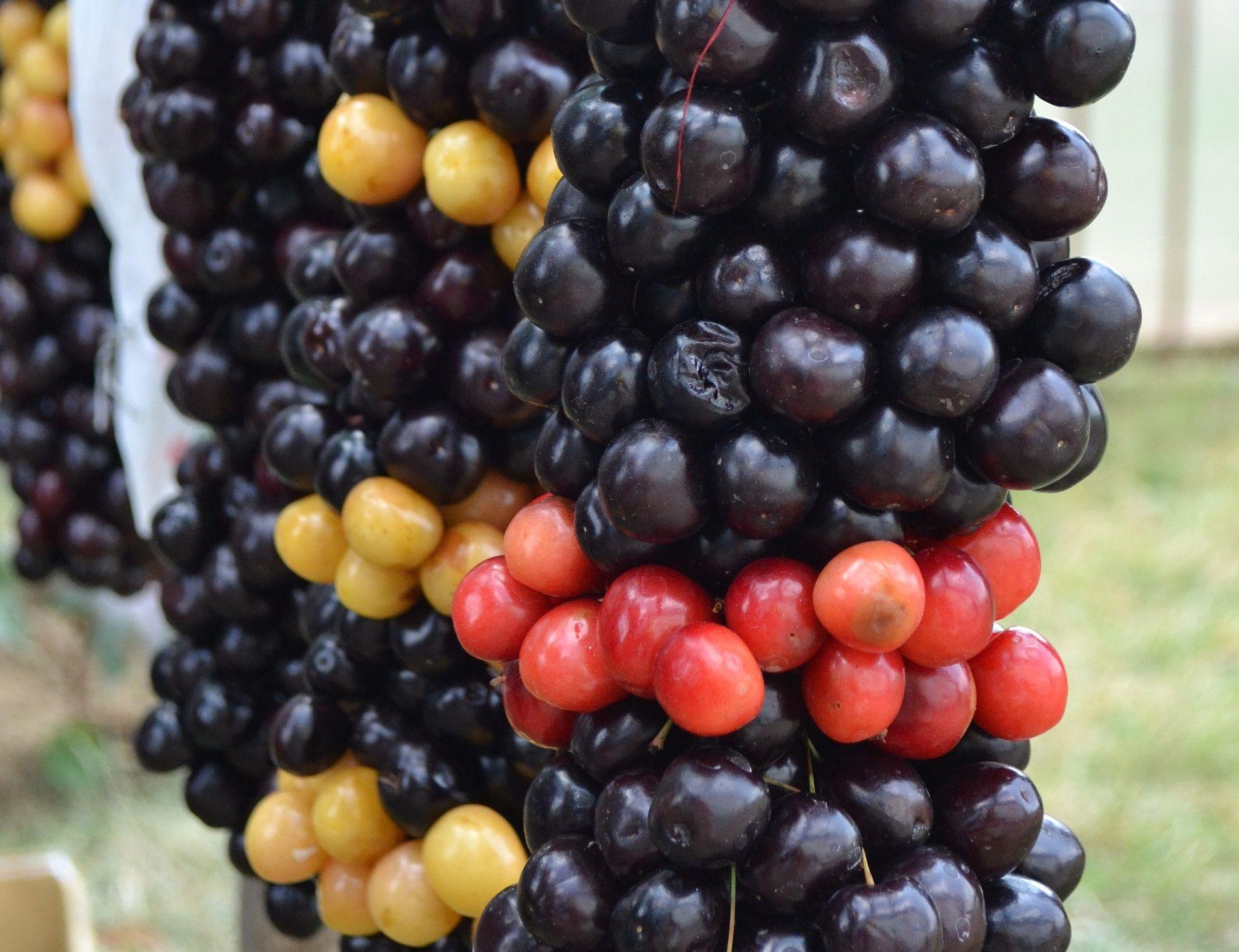 Trešnė (Prunus avium)