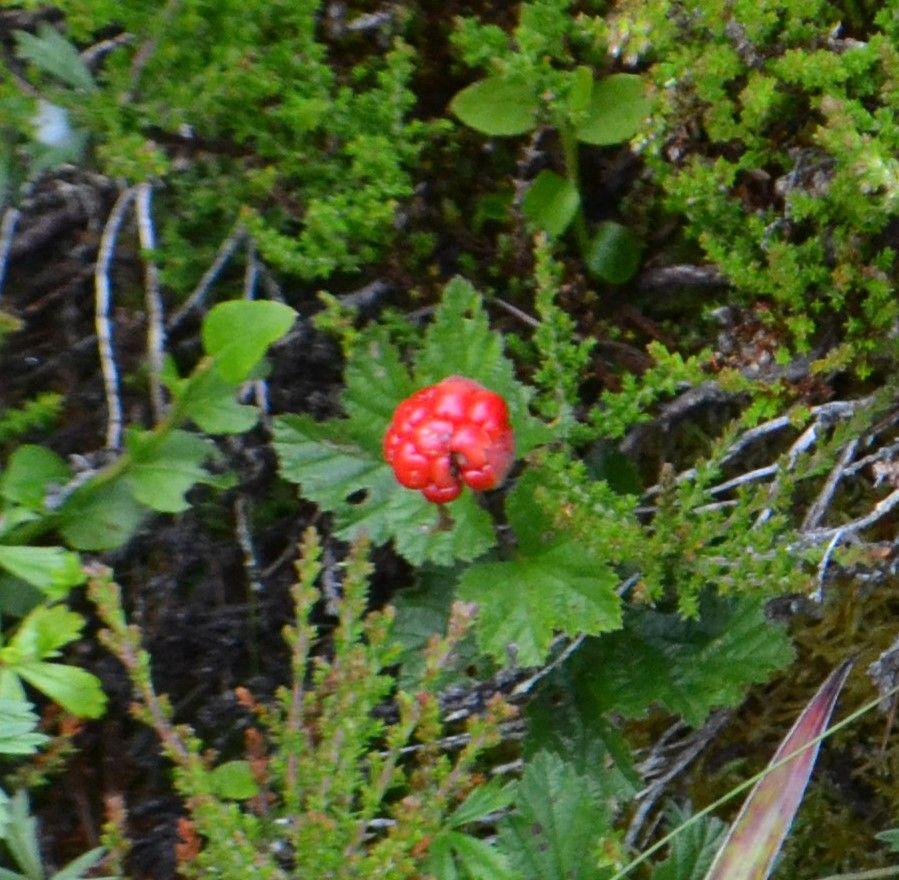 Paprastoji tekšė (Rubus chamaemorus)