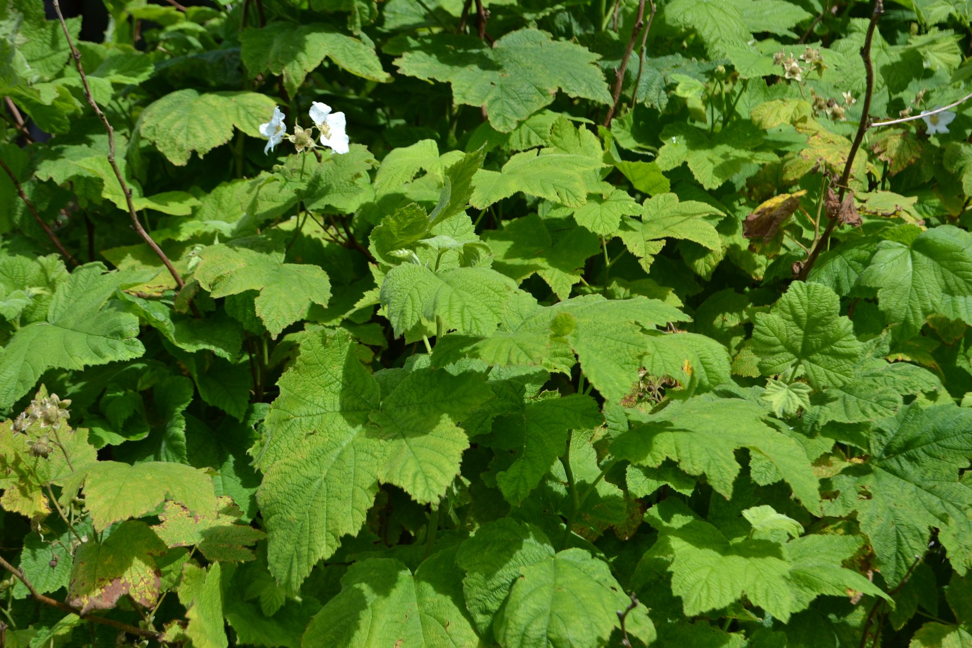 Trilapė avietė (Rubus parviflorus)