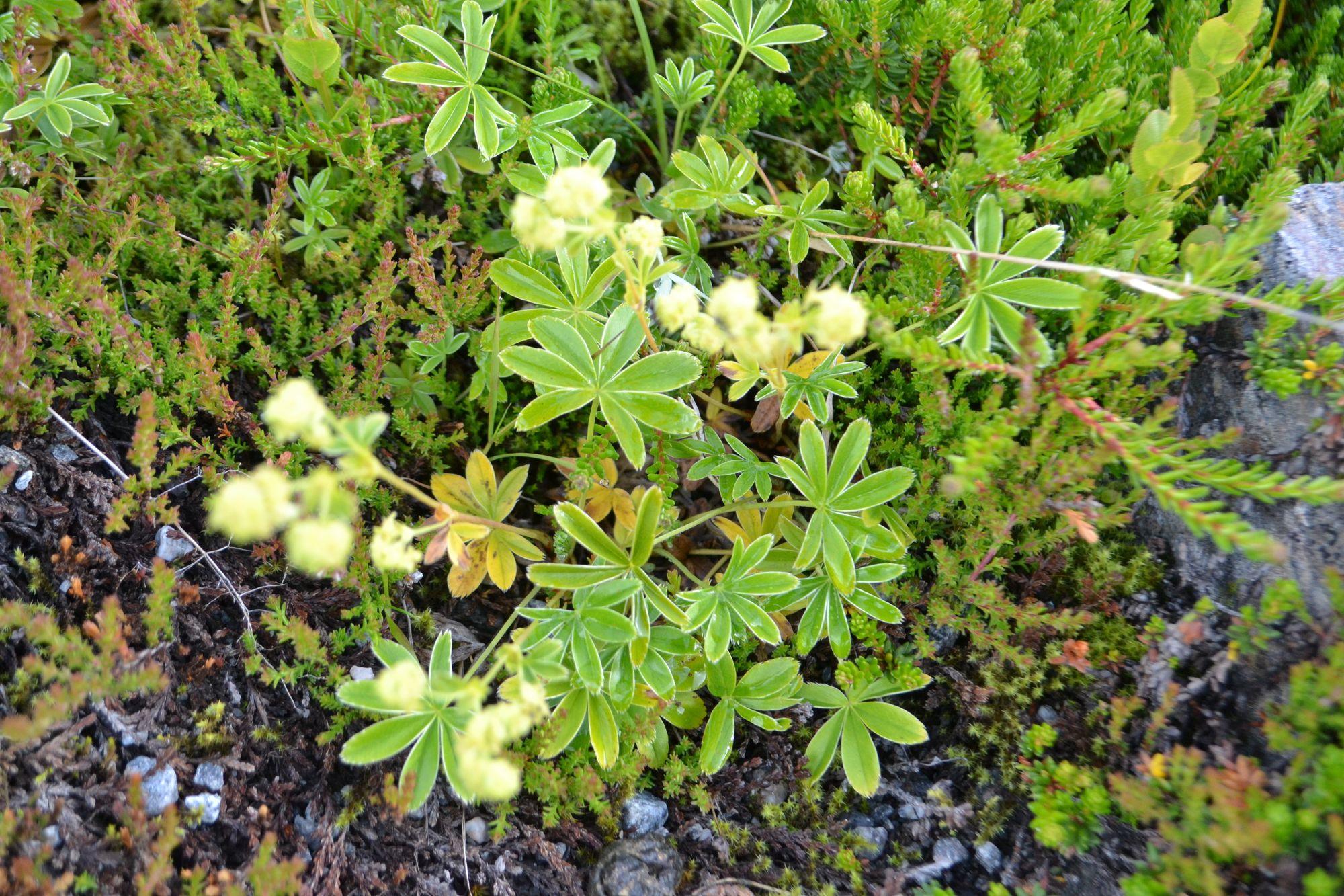 Alpinė rasakila (Alchemilla alpina)