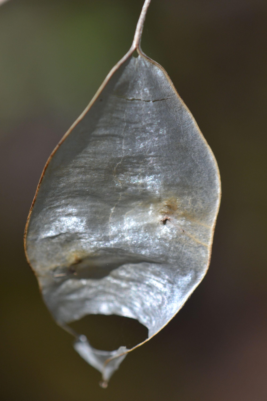 Daugiametė blizgė (Lunaria rediviva)