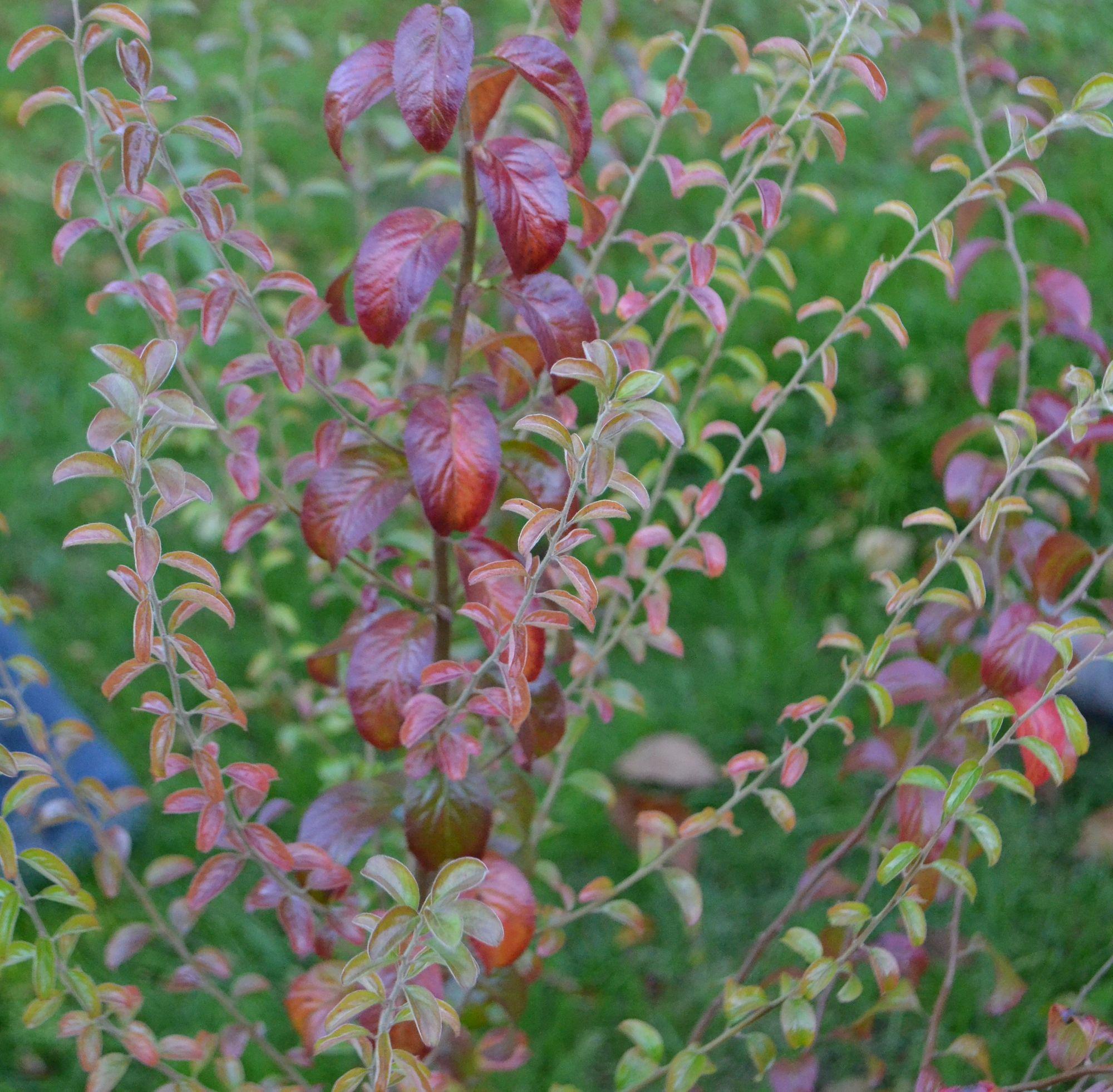 Slyvalapė lanksva (Spiraea prunifolia)