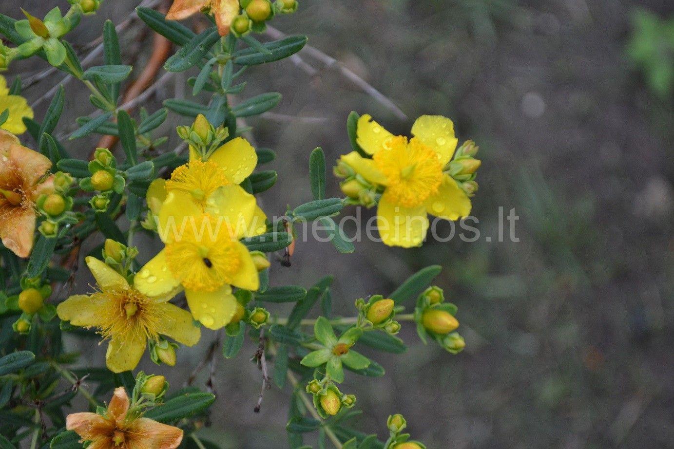 Jonažolė (Hypericum kouytchense)