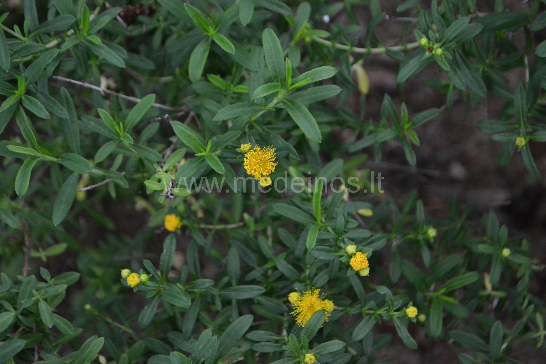 Kvebekinė jonažolė (Hypericum kalmianum)