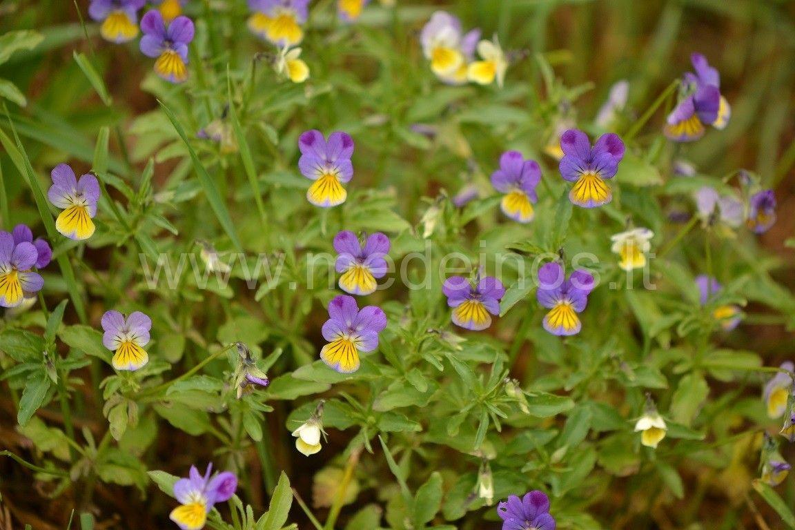 Trispalvė našlaitė (Viola tricolor)