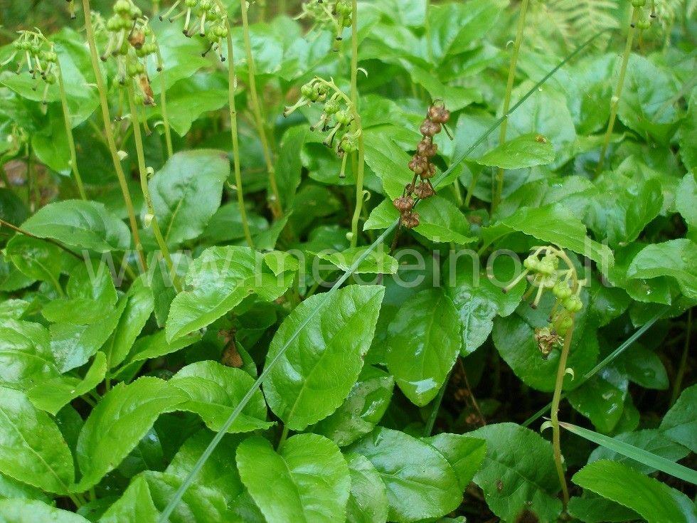 Vienašalė užgina (Orthilia secunda)