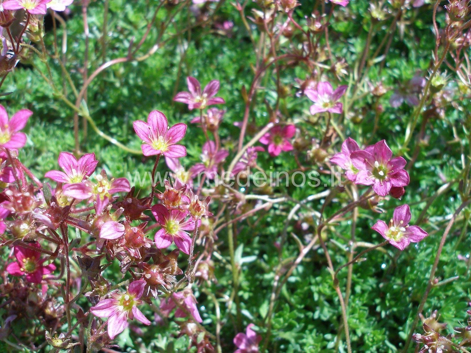 Arenso uolaskėlė (Saxifraga x arendsii)