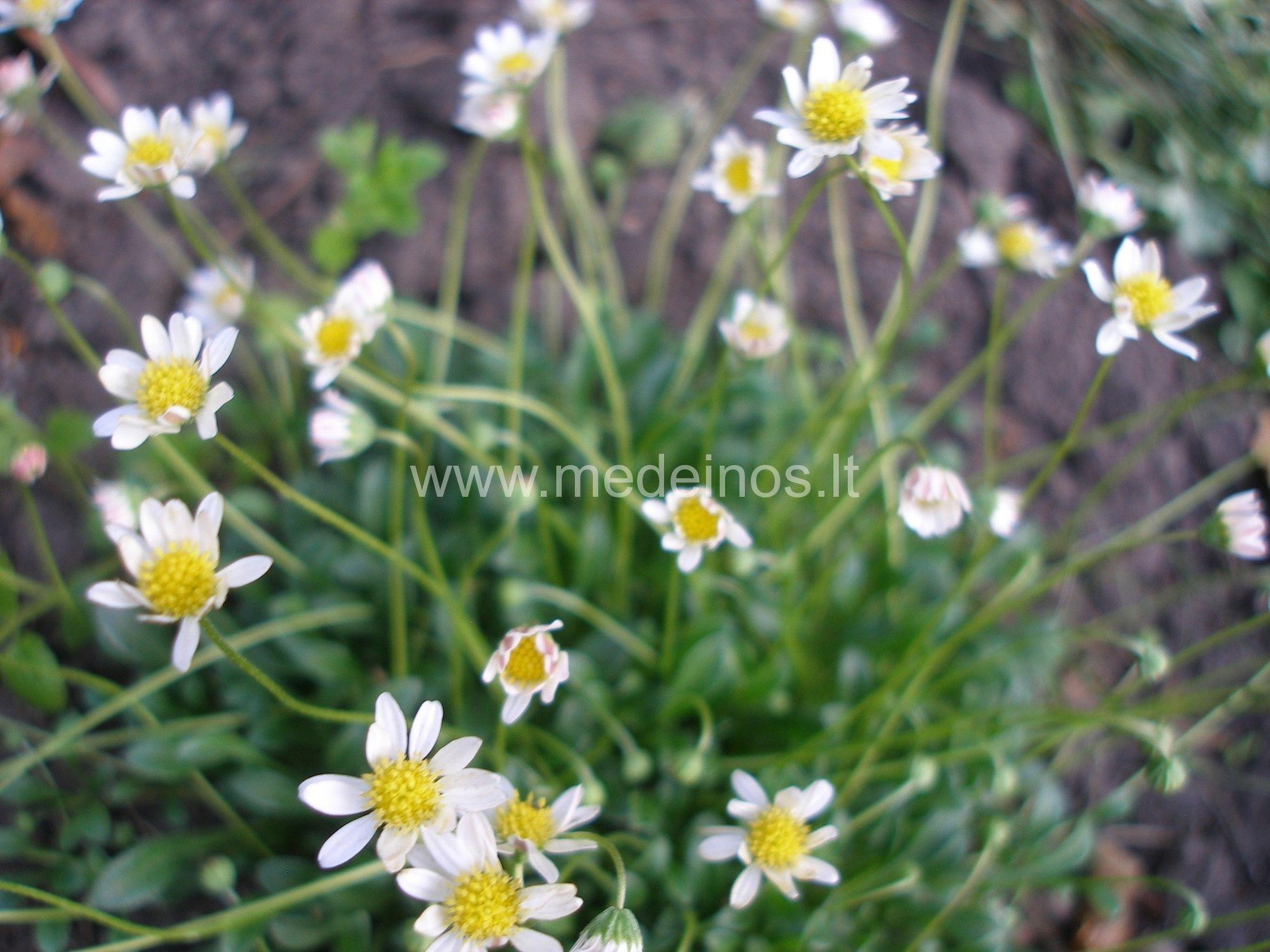 Šluotelinė uolaskėlė (Saxifraga paniculata)