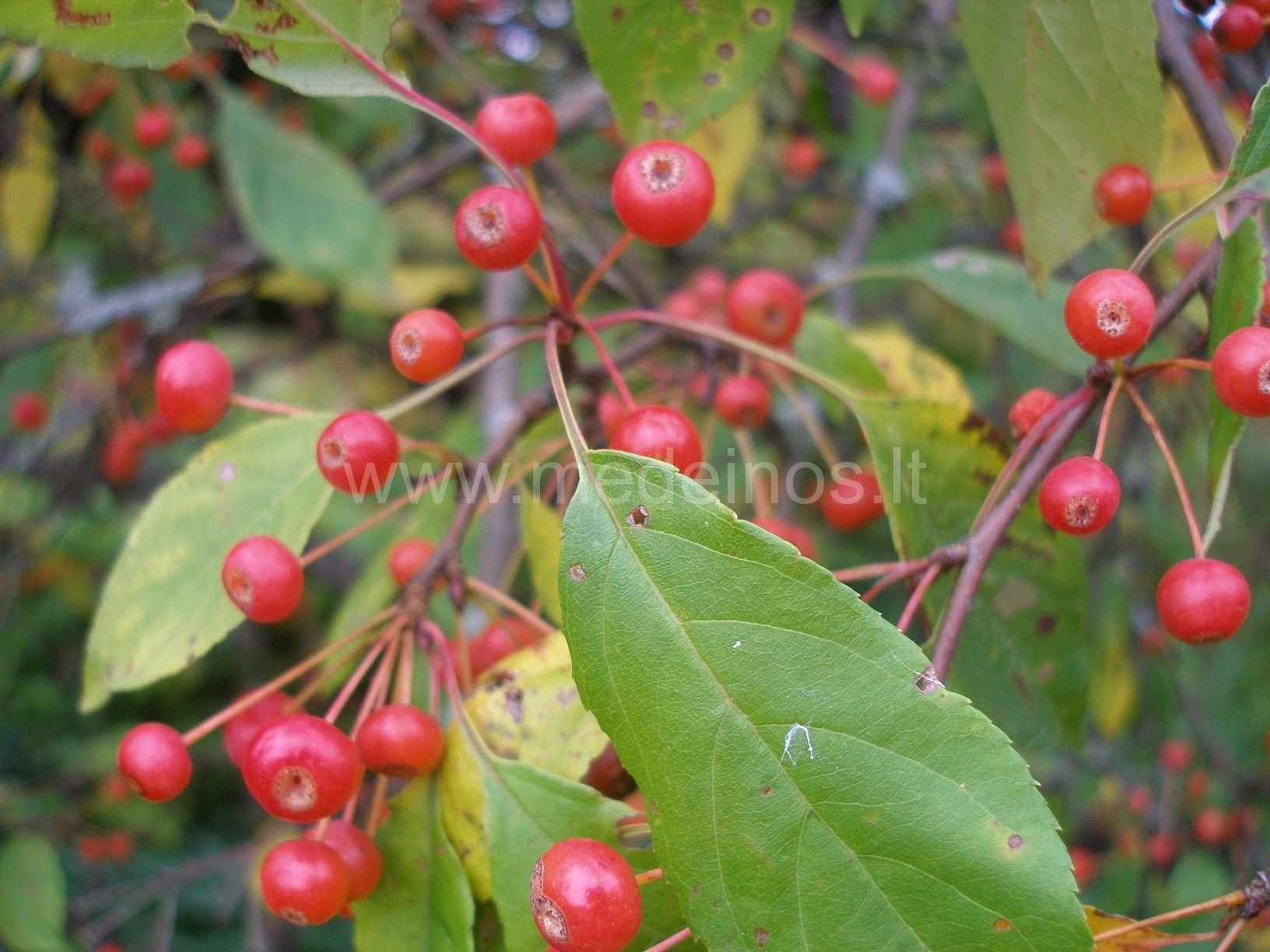 Uoginė obelis (Malus baccata)