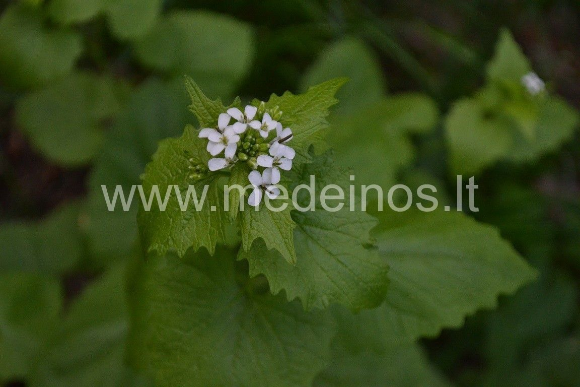 Vaistinė česnakūnė (Alliaria petiolata)