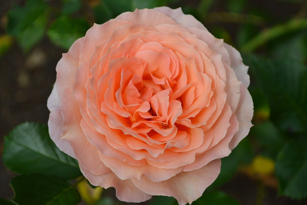 Rožės - darželio gėlės (fotogalerija)