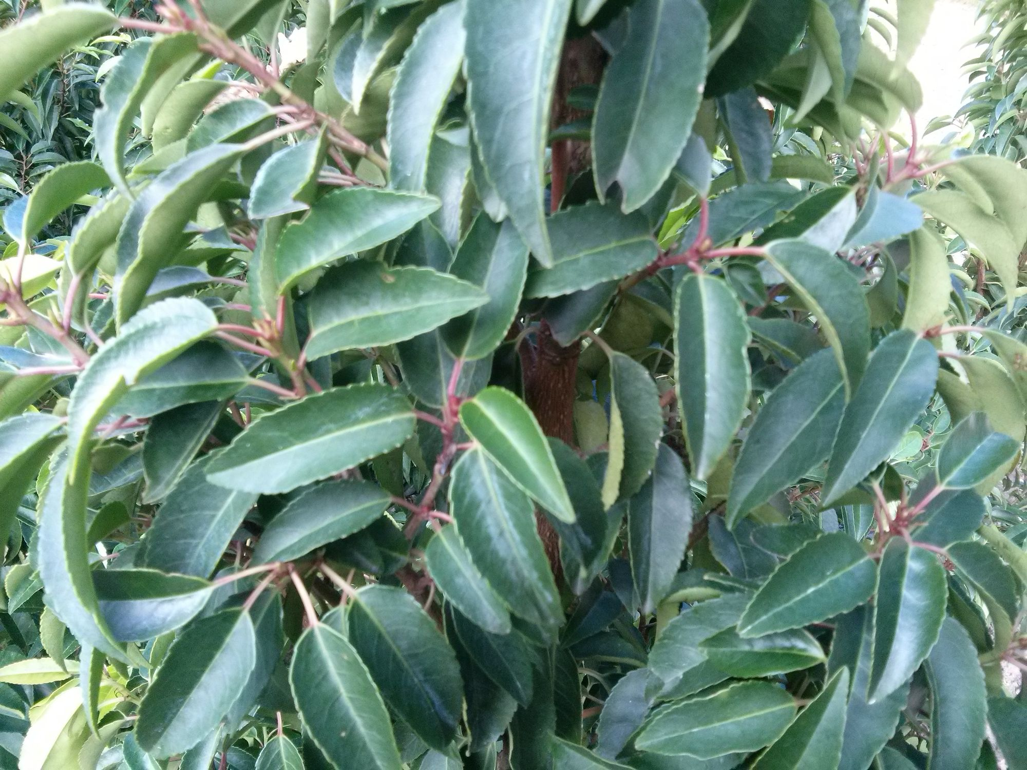 Mažalapė ieva 'Myrtifolia' (Prunus lusitanica)