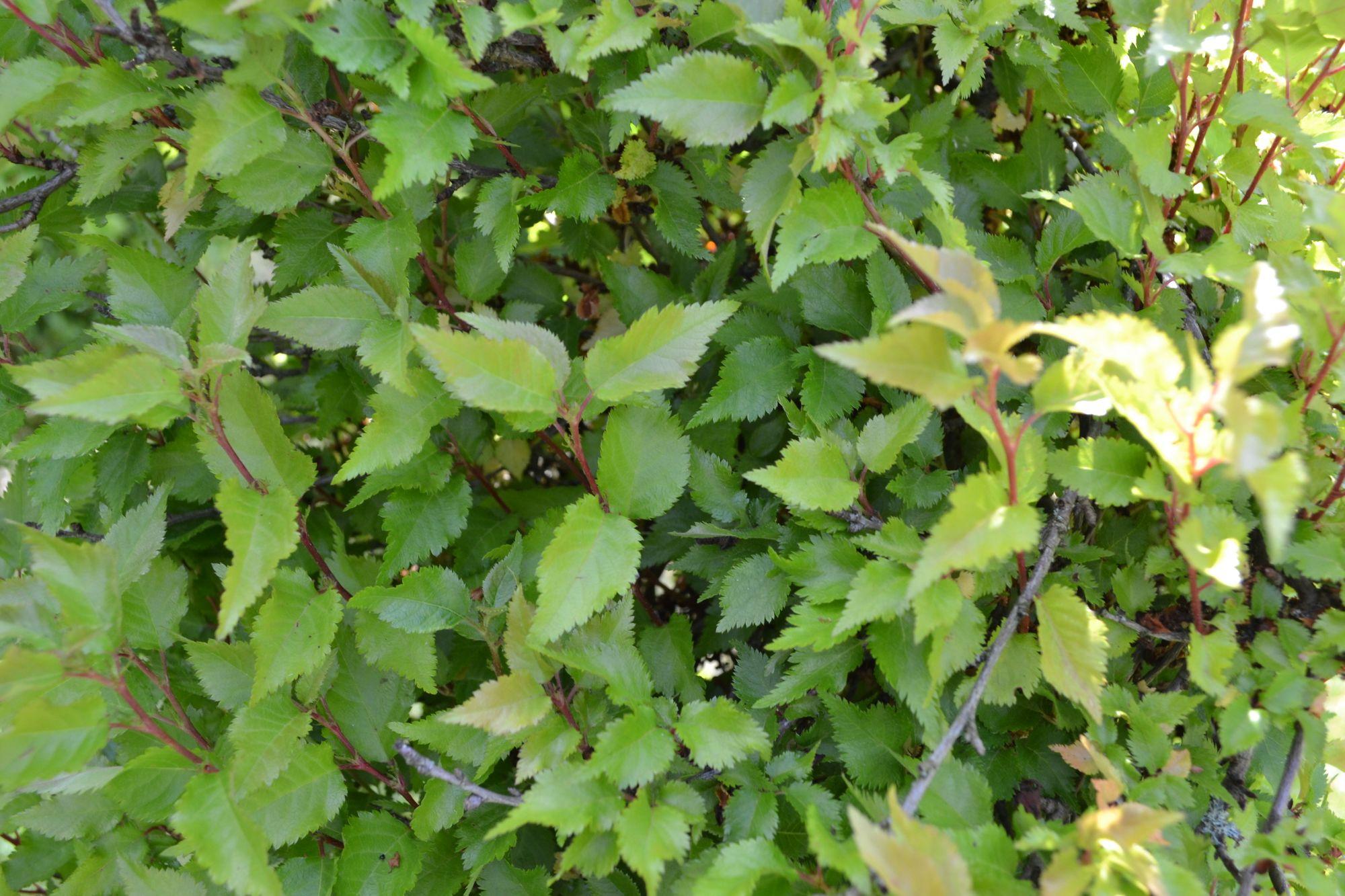 Ankstyvoji vyšnia 'February Pink' (Prunus incisa)