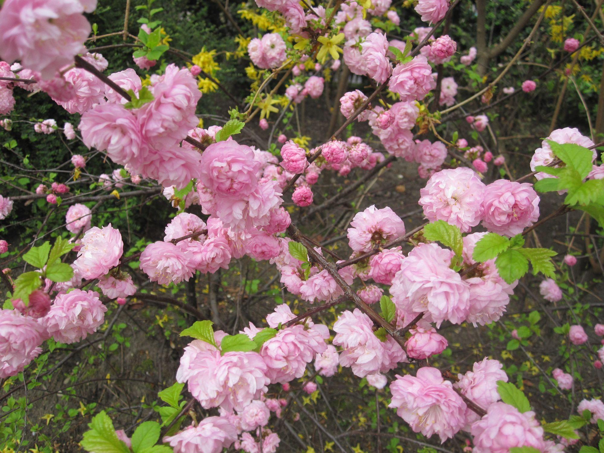 Triskiautis migdolas (Prunus triloba, sin. Amygdalus triloba)
