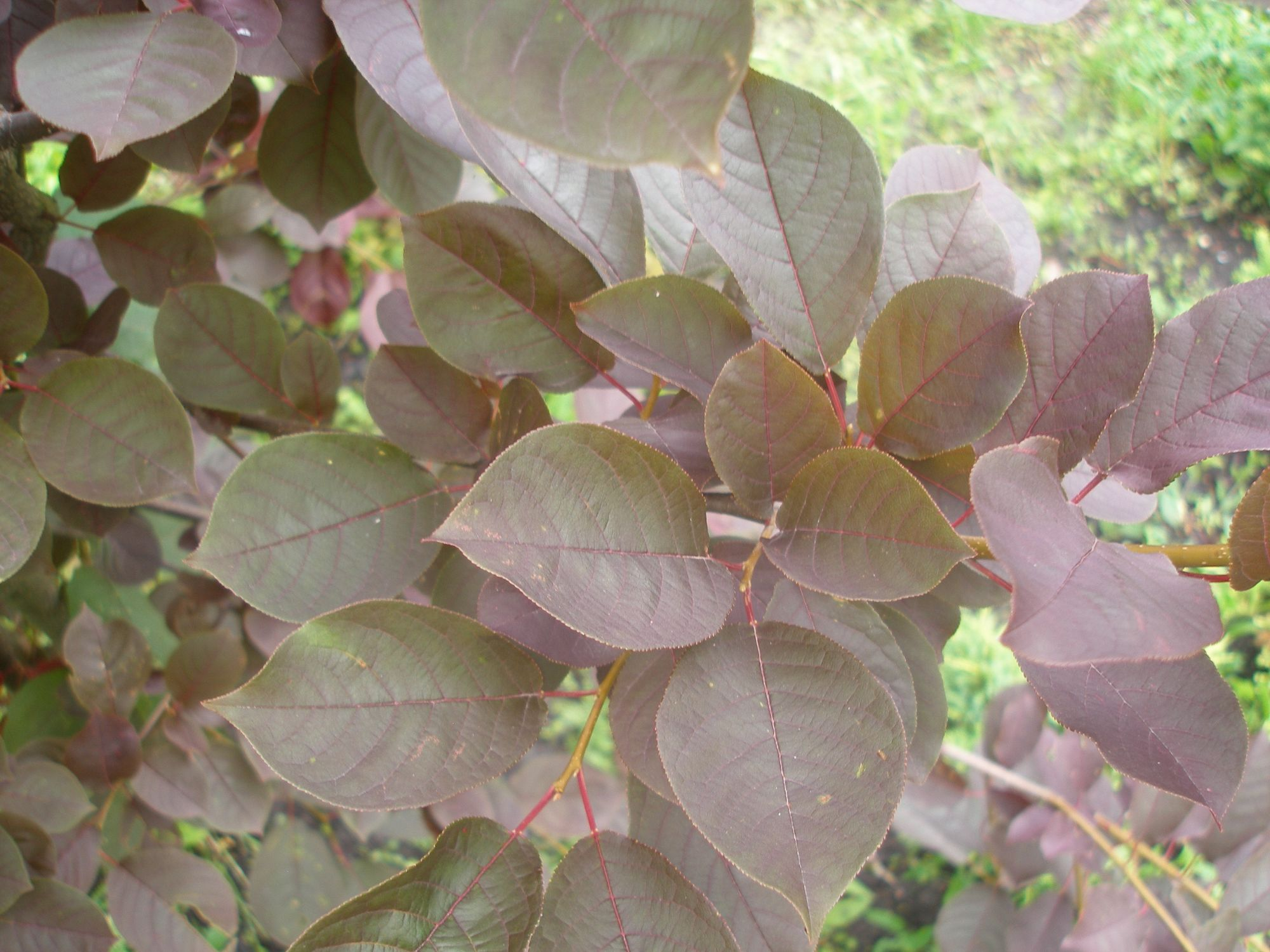 Virgininė ieva 'Schubert' (Prunus virginiana)