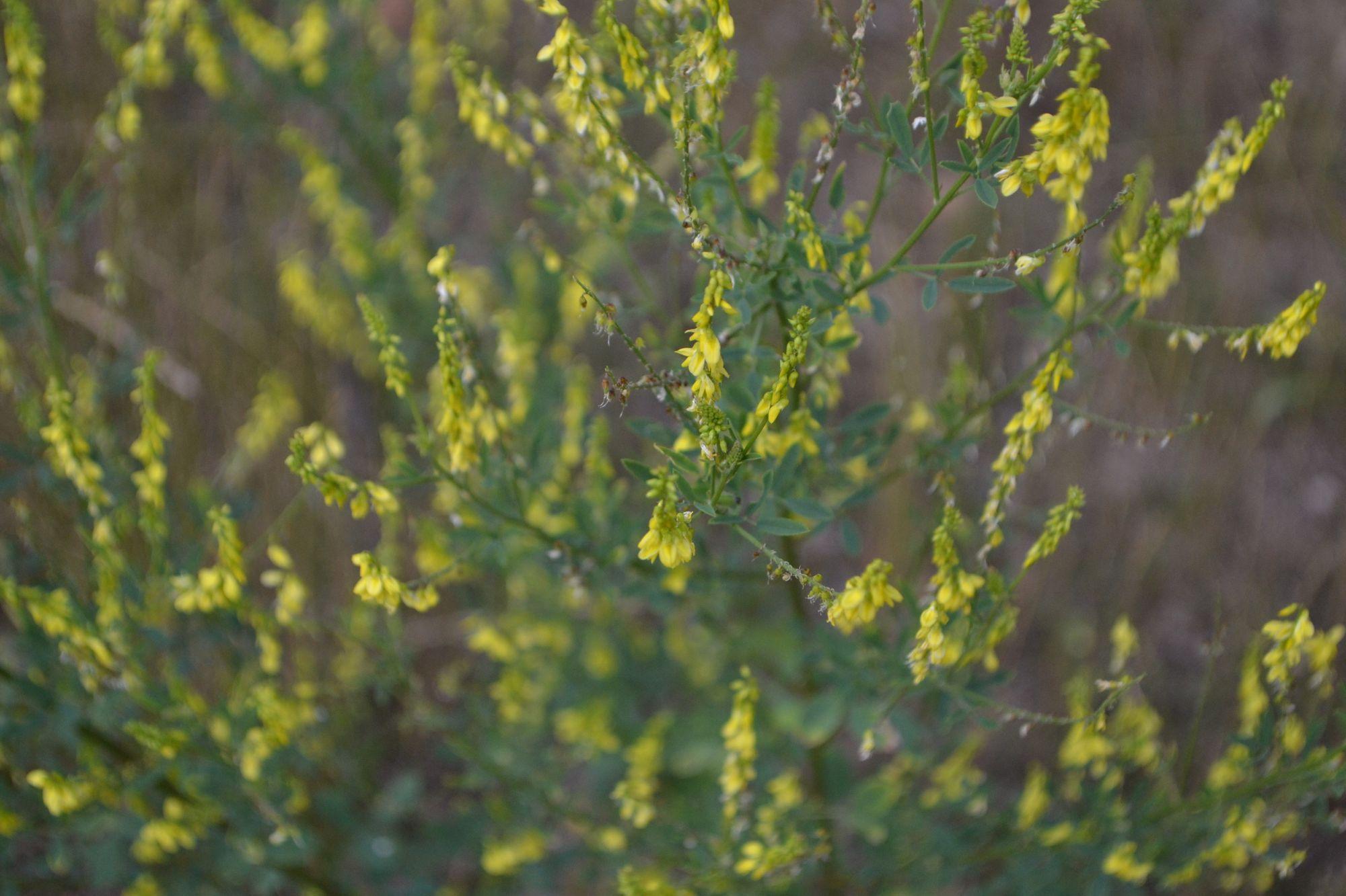 Geltonžiedis barkūnas (Melilotus officinalis)