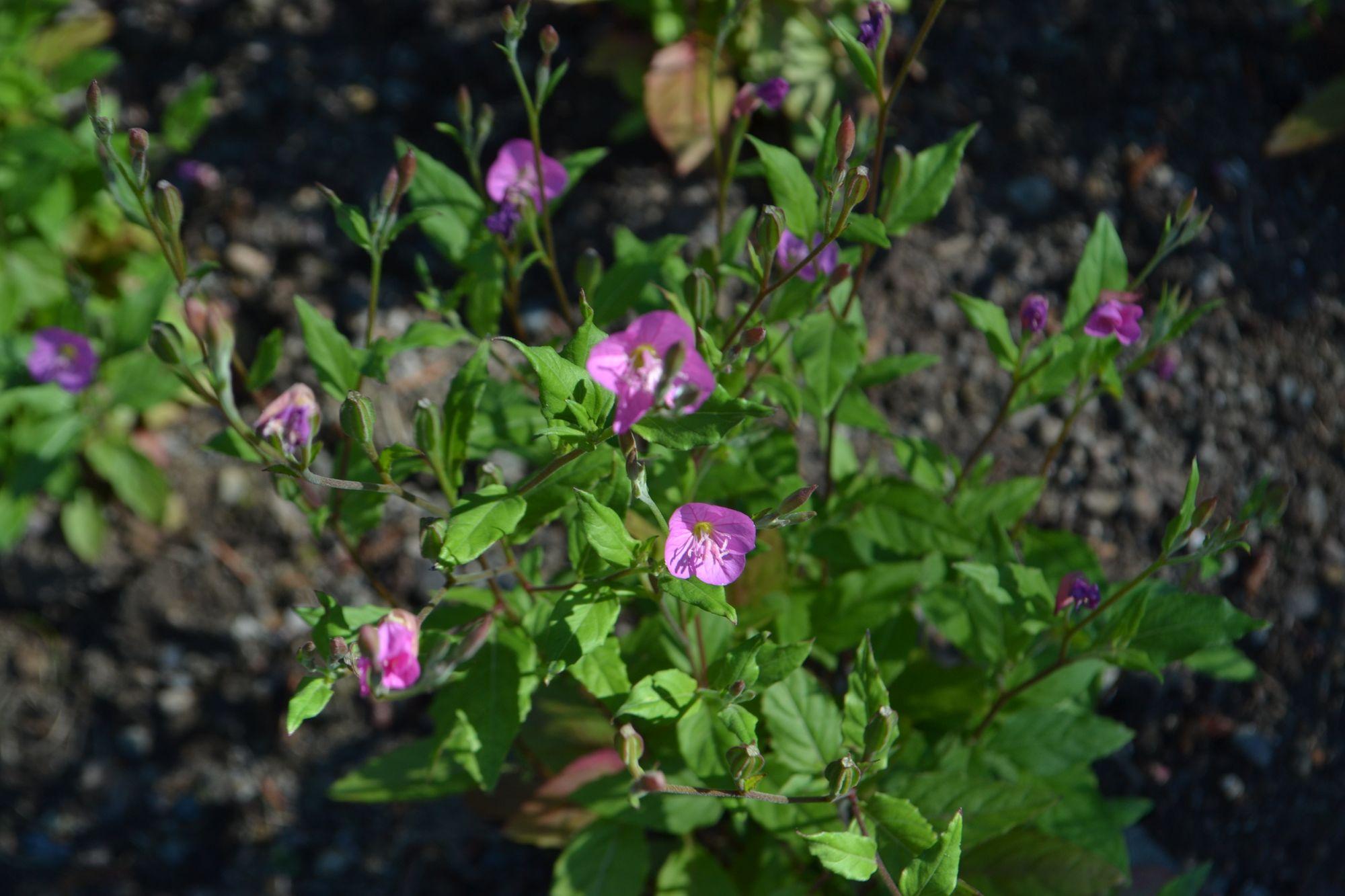 Rausvoji nakviša (Oenothera rosea)