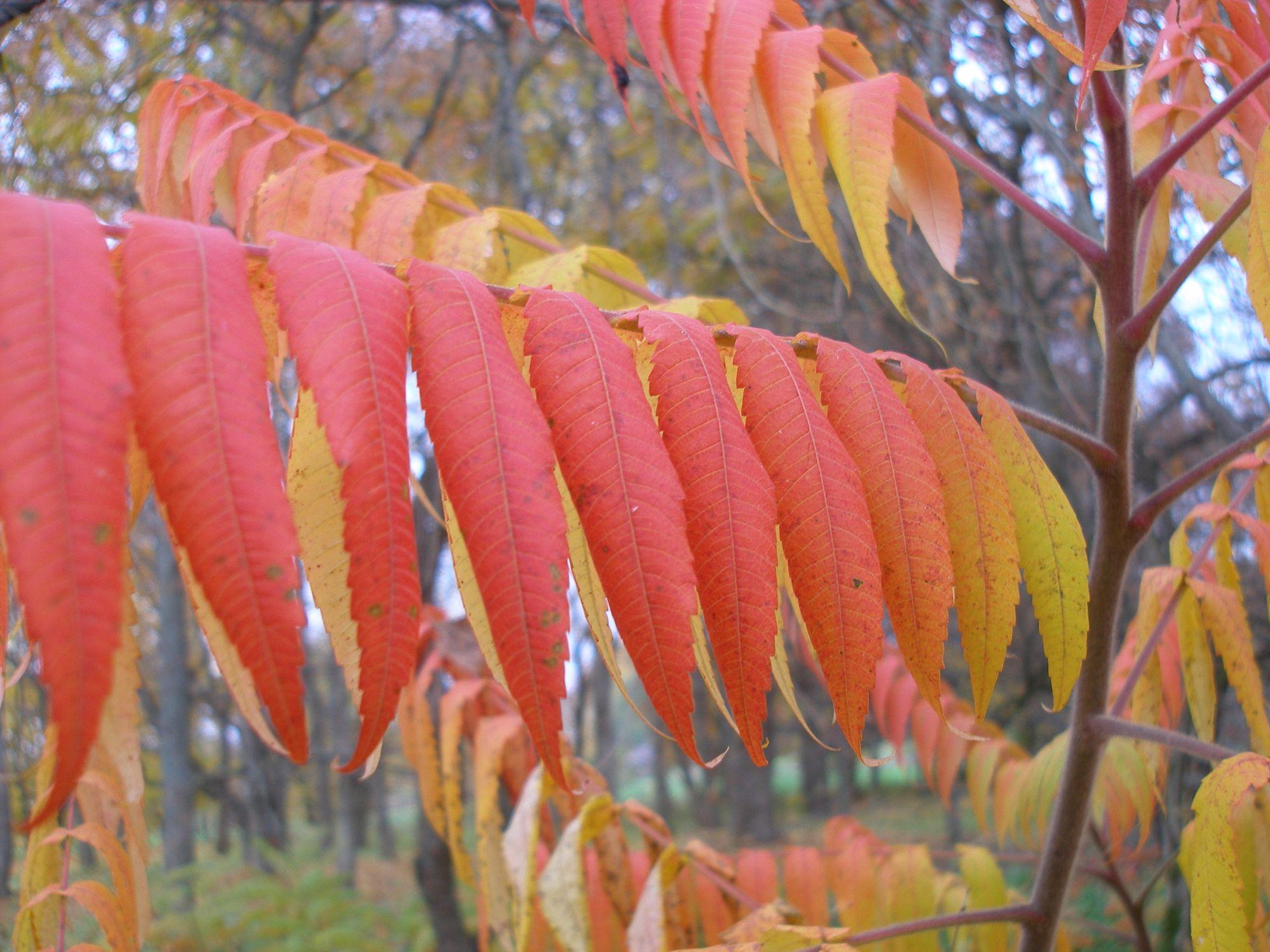 Ryškiaspalviai žagrenio lapai nušviečia rudenį