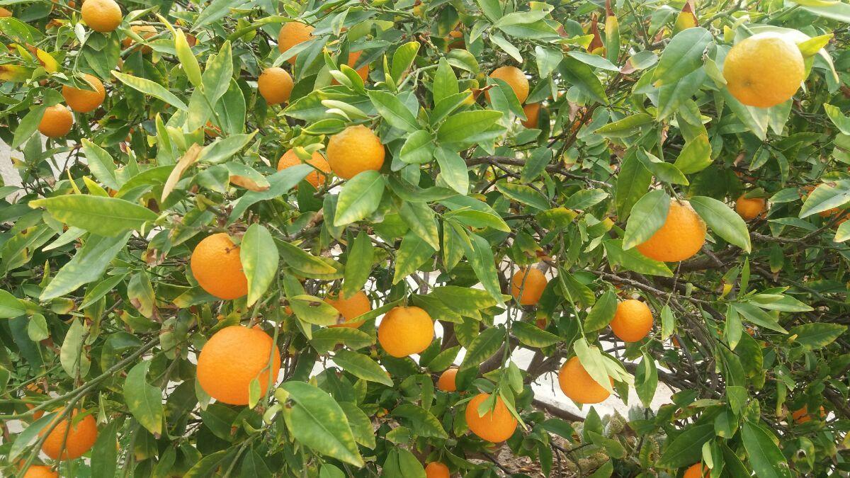 Apelsininis citrinmedis, apelsinas (Citrus × sinensis)