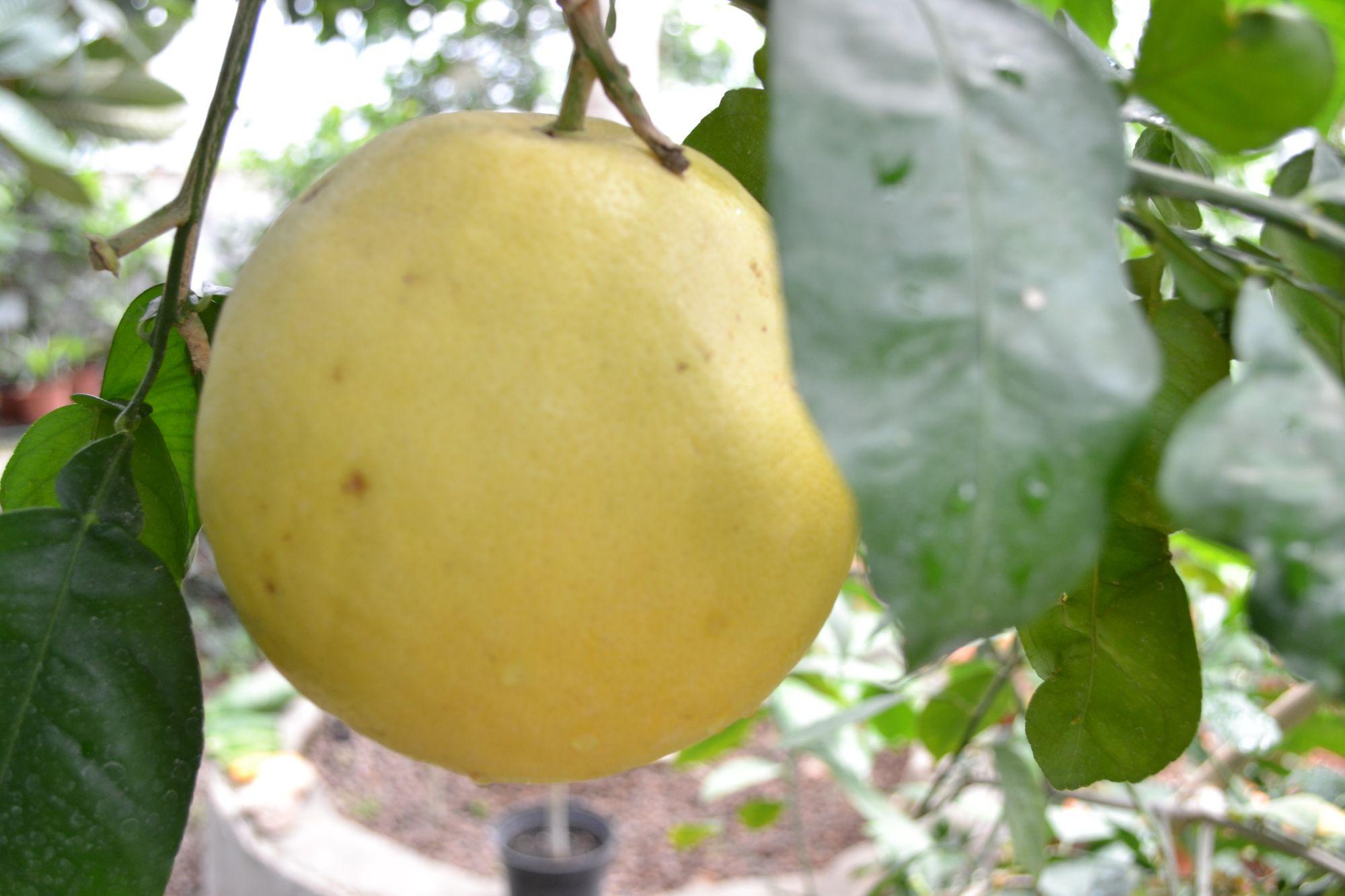 Greipfrutinis citrinmedis, greipfrutas (Citrus x  paradisi)