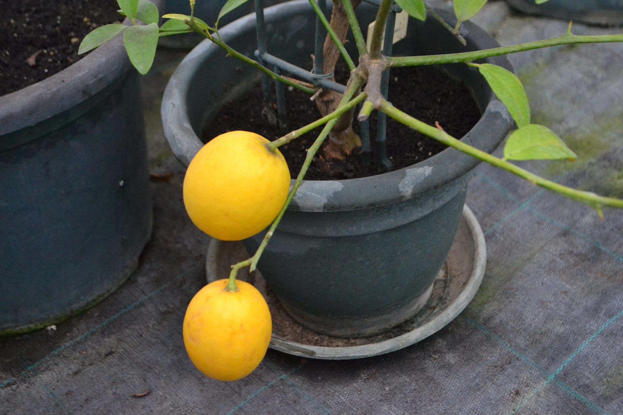 Smuliavaisis citrinmedis, kalamondinas (Citrus x microcarpa)