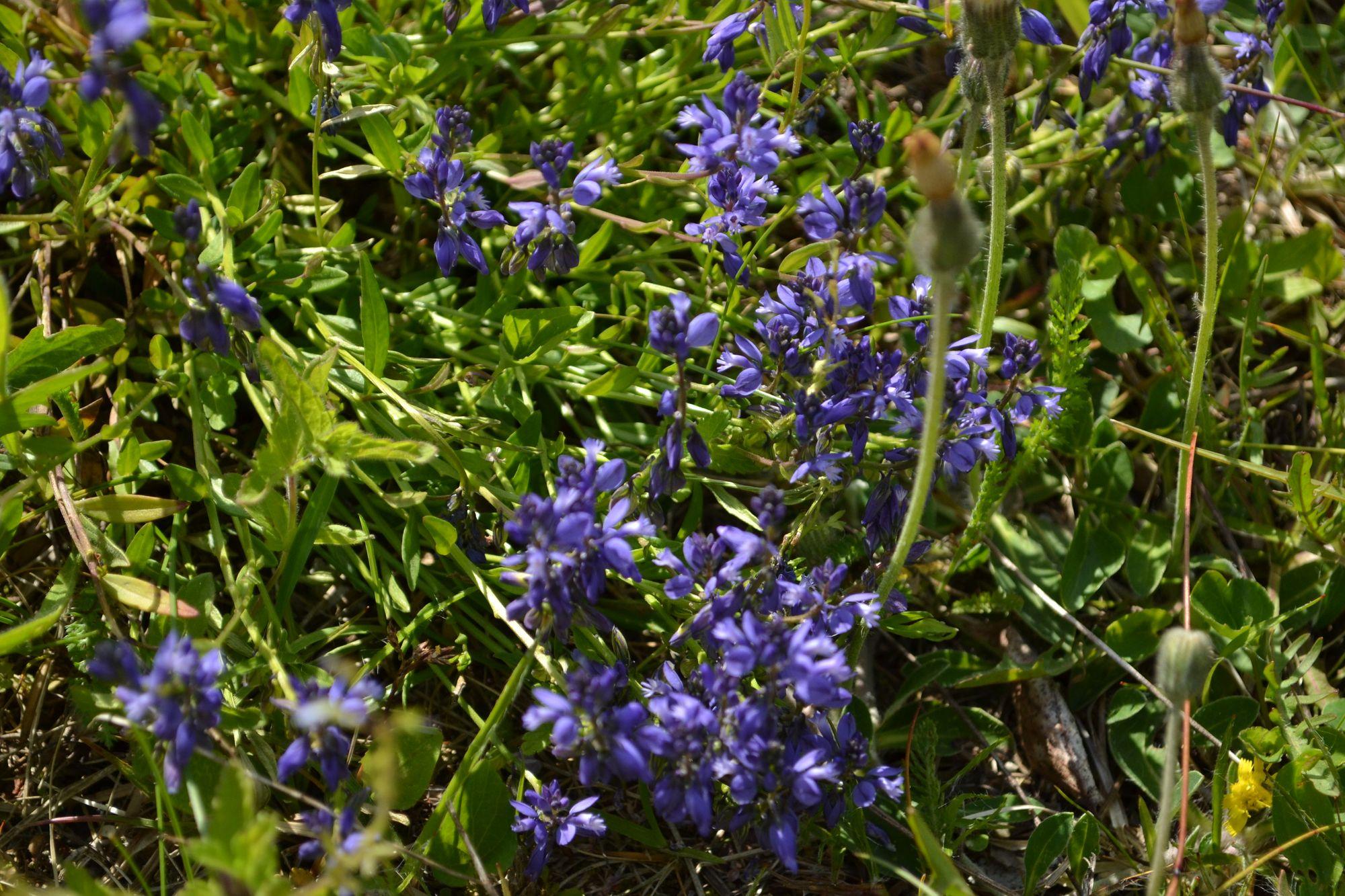 Paprastoji putokšlė (Polygala vulgaris)