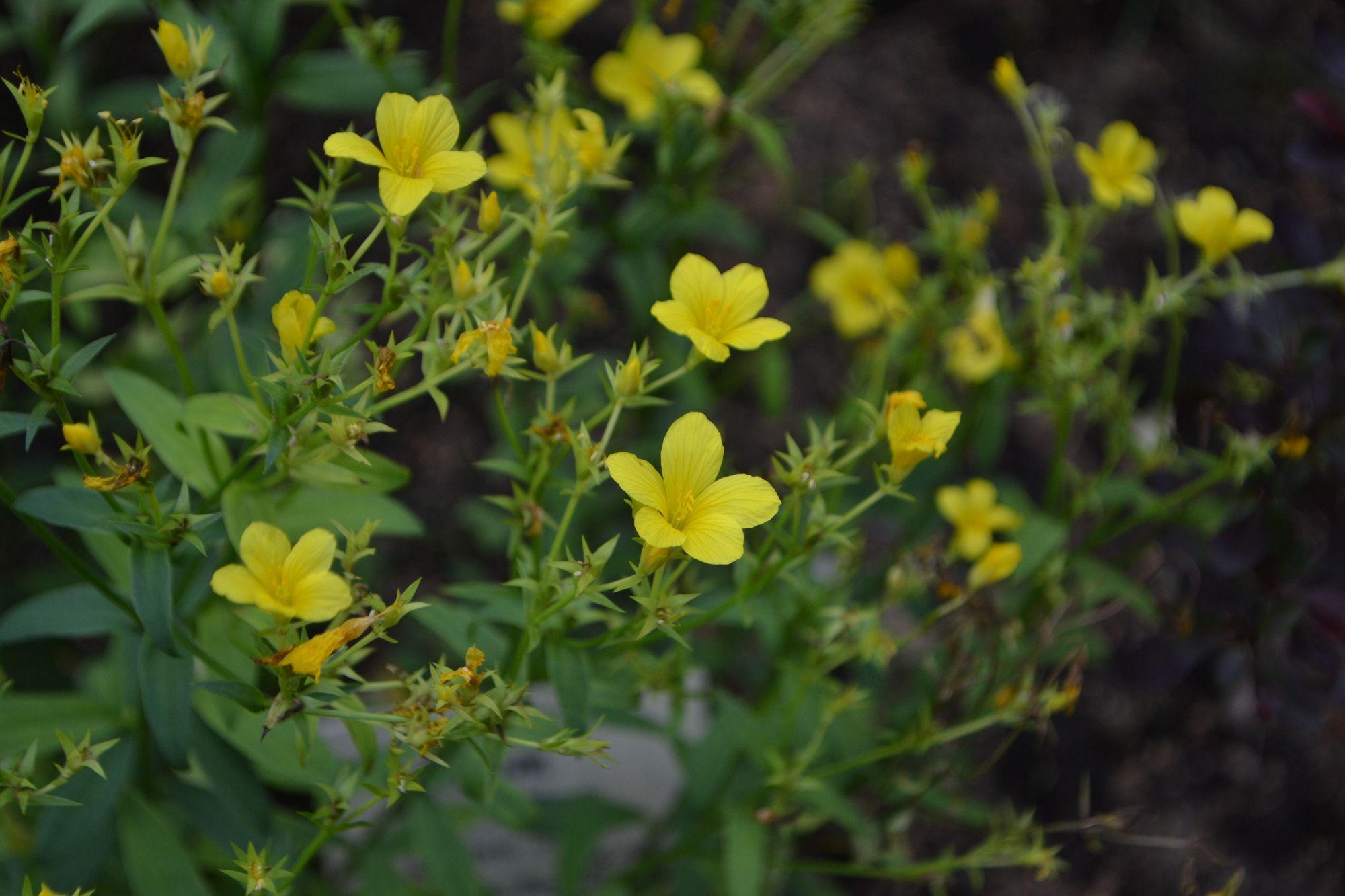 Geltonžiedis linas (Linum flavum)