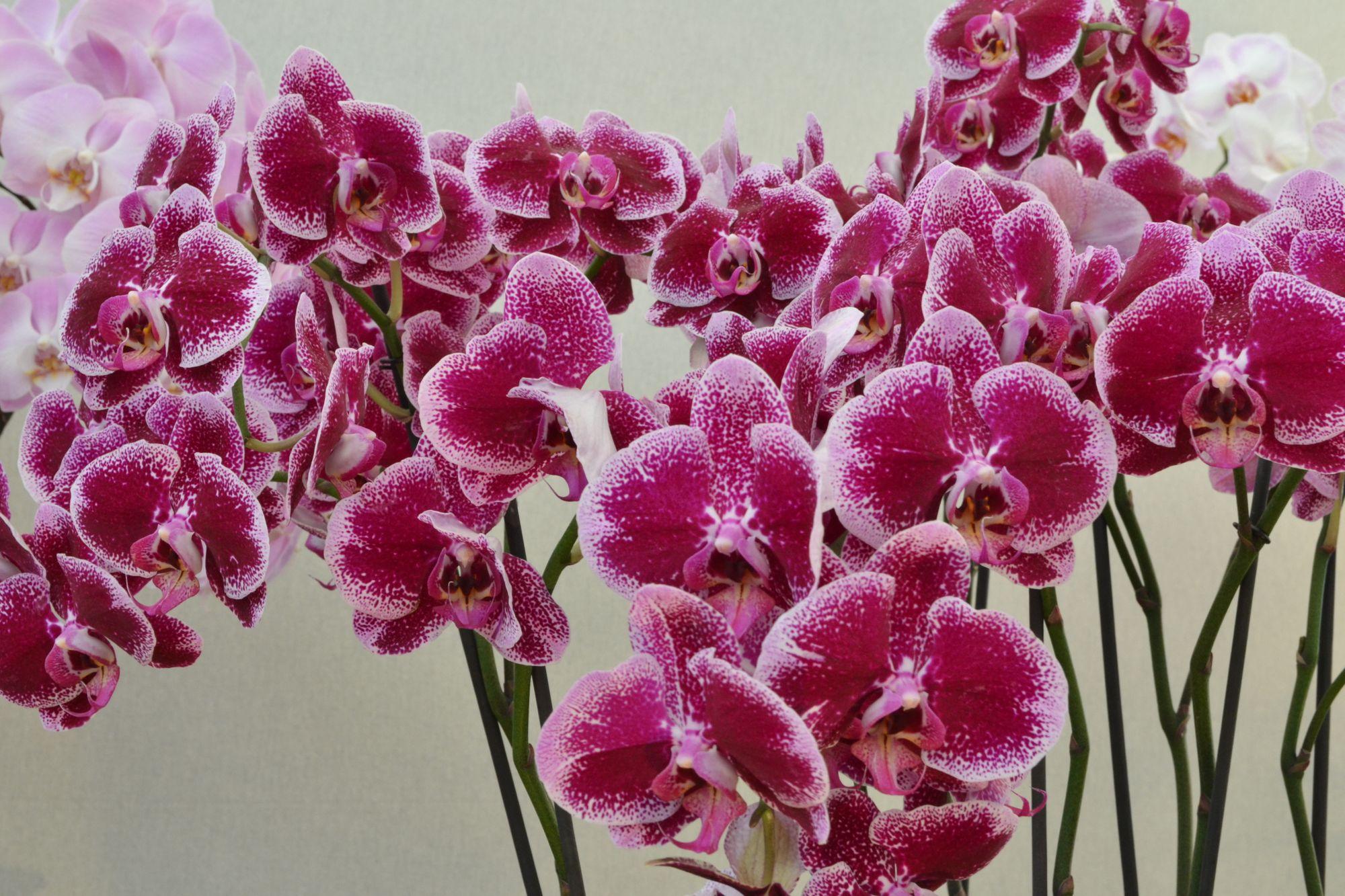 Apie orchidėjas falenopsius