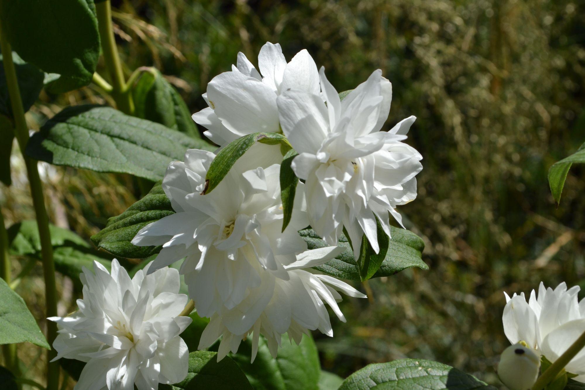 Jazminas 'Minnesota Snowflake' (Philadelphus hybrida)