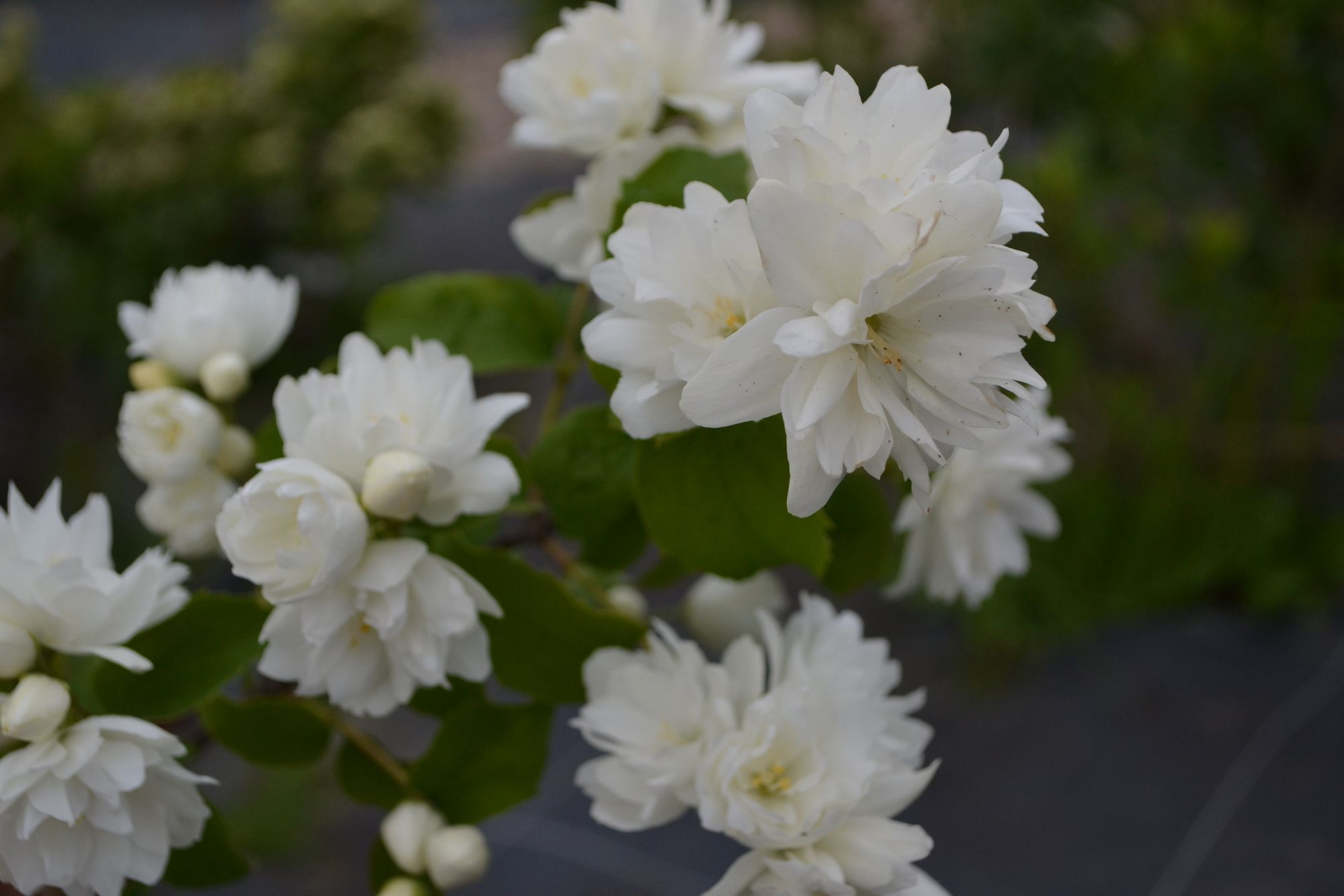 Jazminas 'Snowbelle' (Philadelphus hybrida)