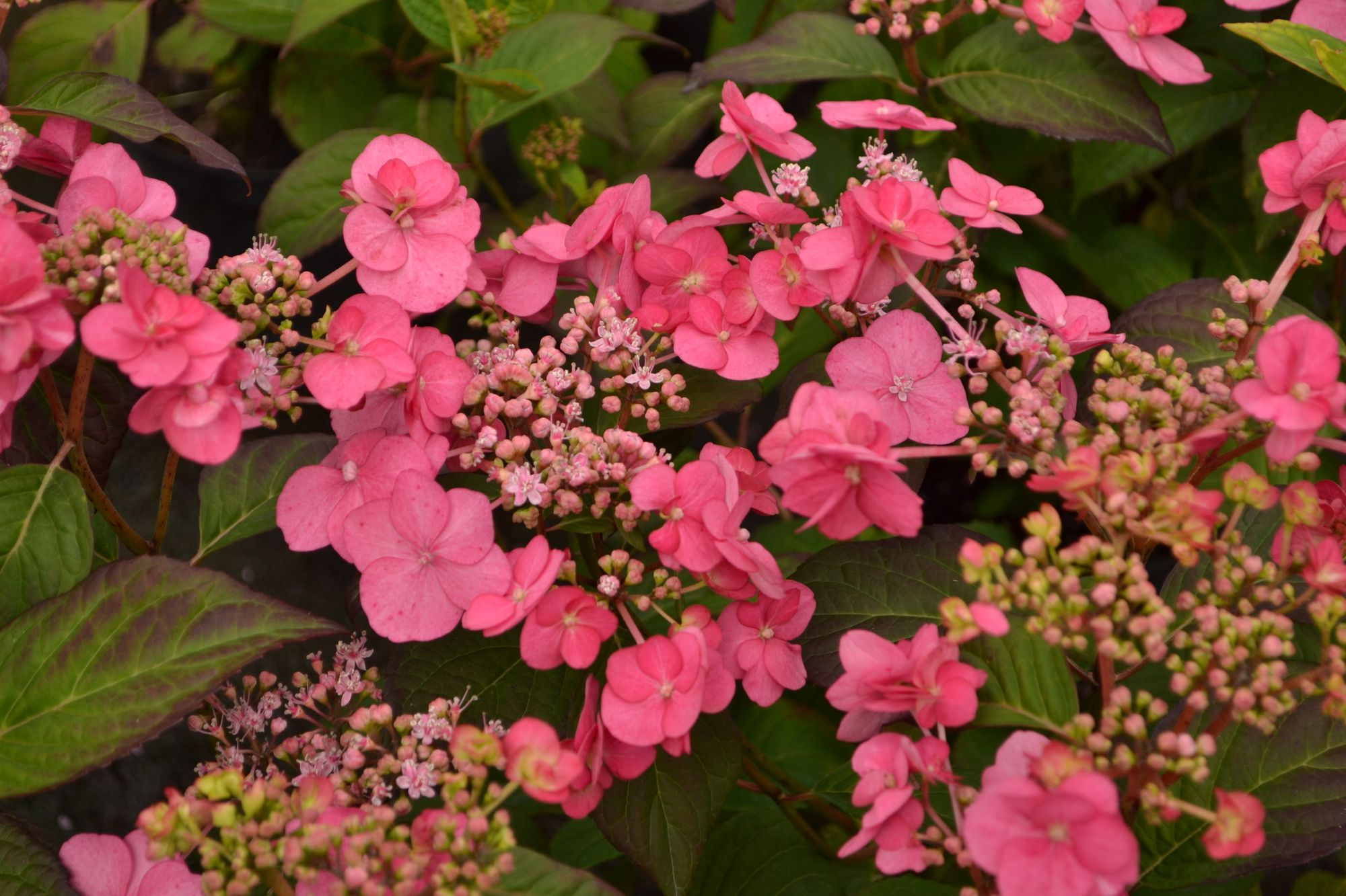 Krūminė hortenzija 'Santiago' (Hydrangea serrata)
