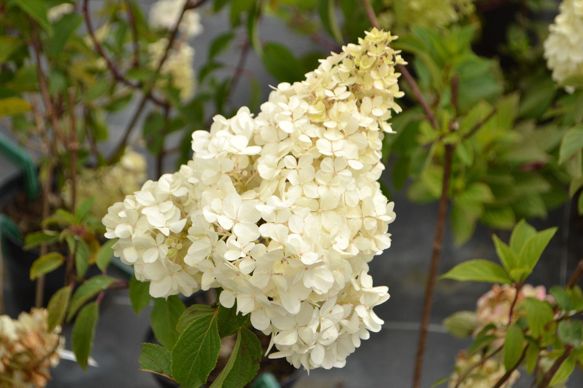 Šluotelinė hortenzija 'Vanille Fraise' (Hydrangea paniculata)