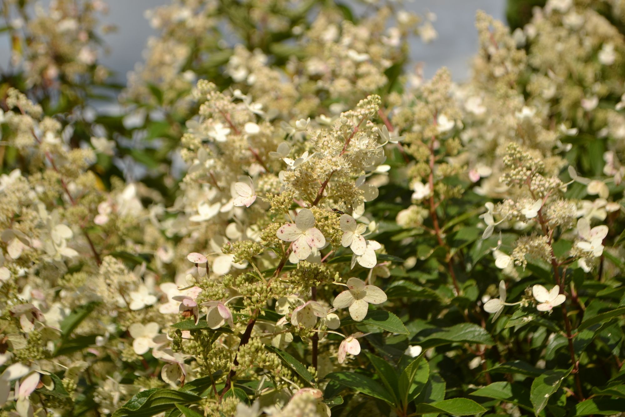 Šluotelinė hortenzija 'Tardiva' (Hydrangea paniculata)
