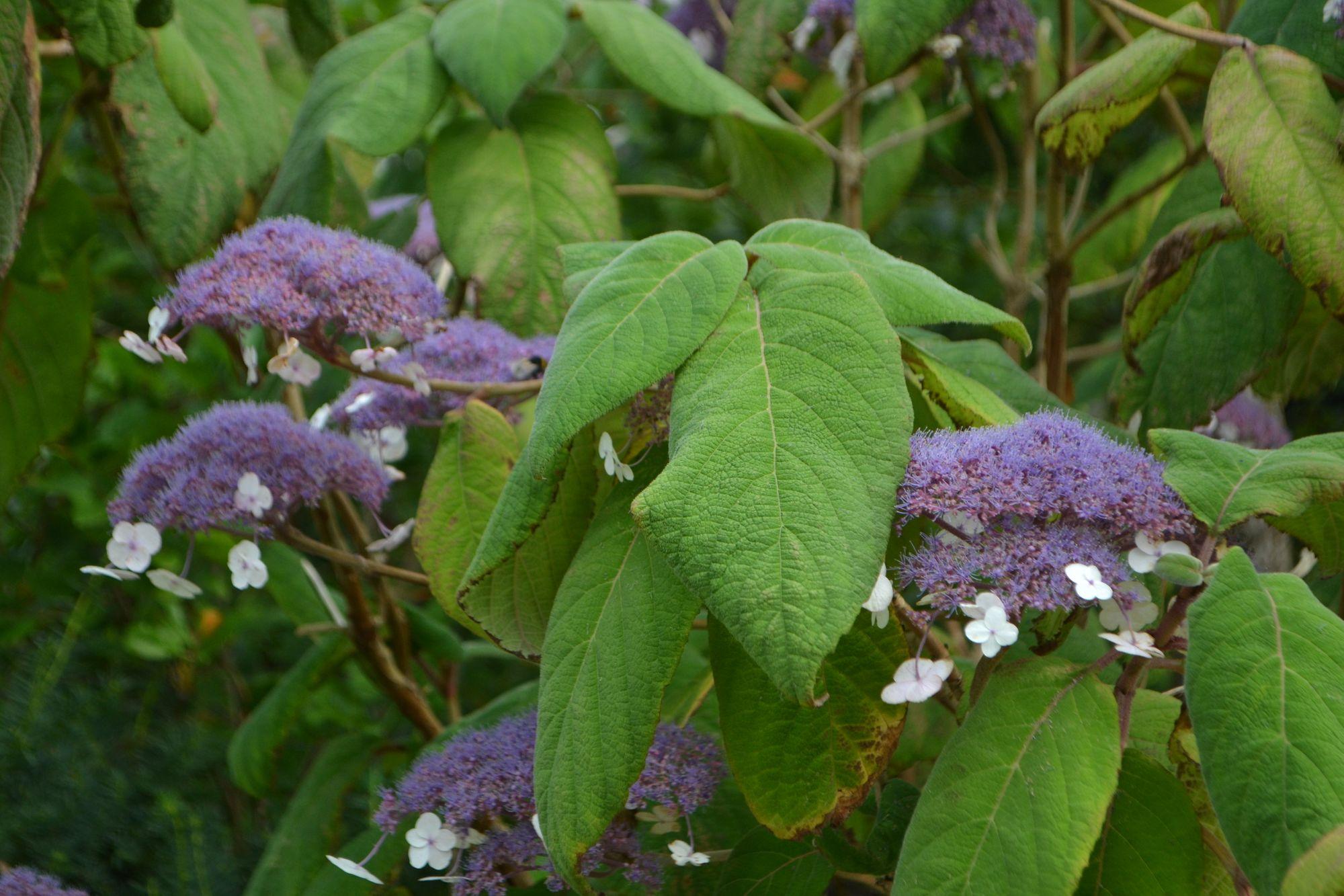 Krūminė hortenzija 'Bluebird' (Hydrangea serrata)