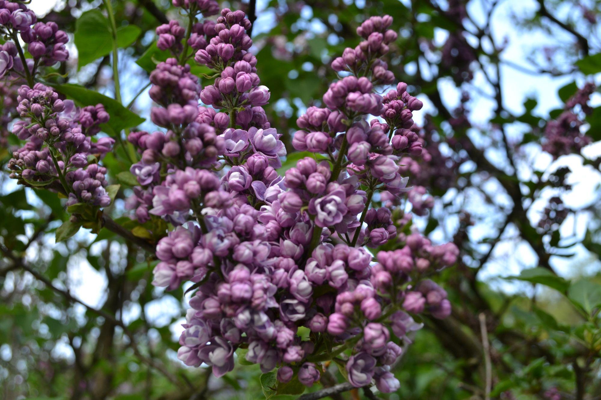 Paprastosios alyvos 'Edith Cavell' (Syringa vulgaris)
