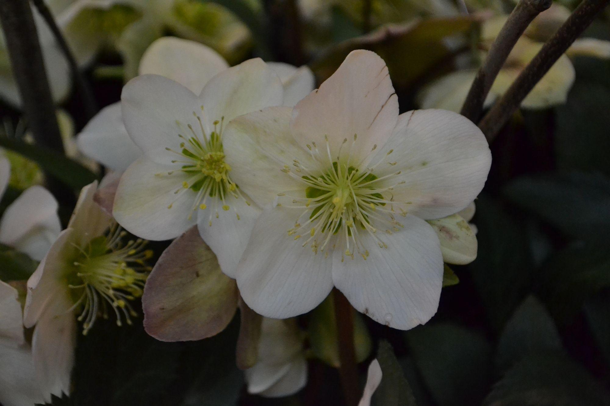 Hibridinis eleboras 'Candy Love' (Helleborus x hybridum)