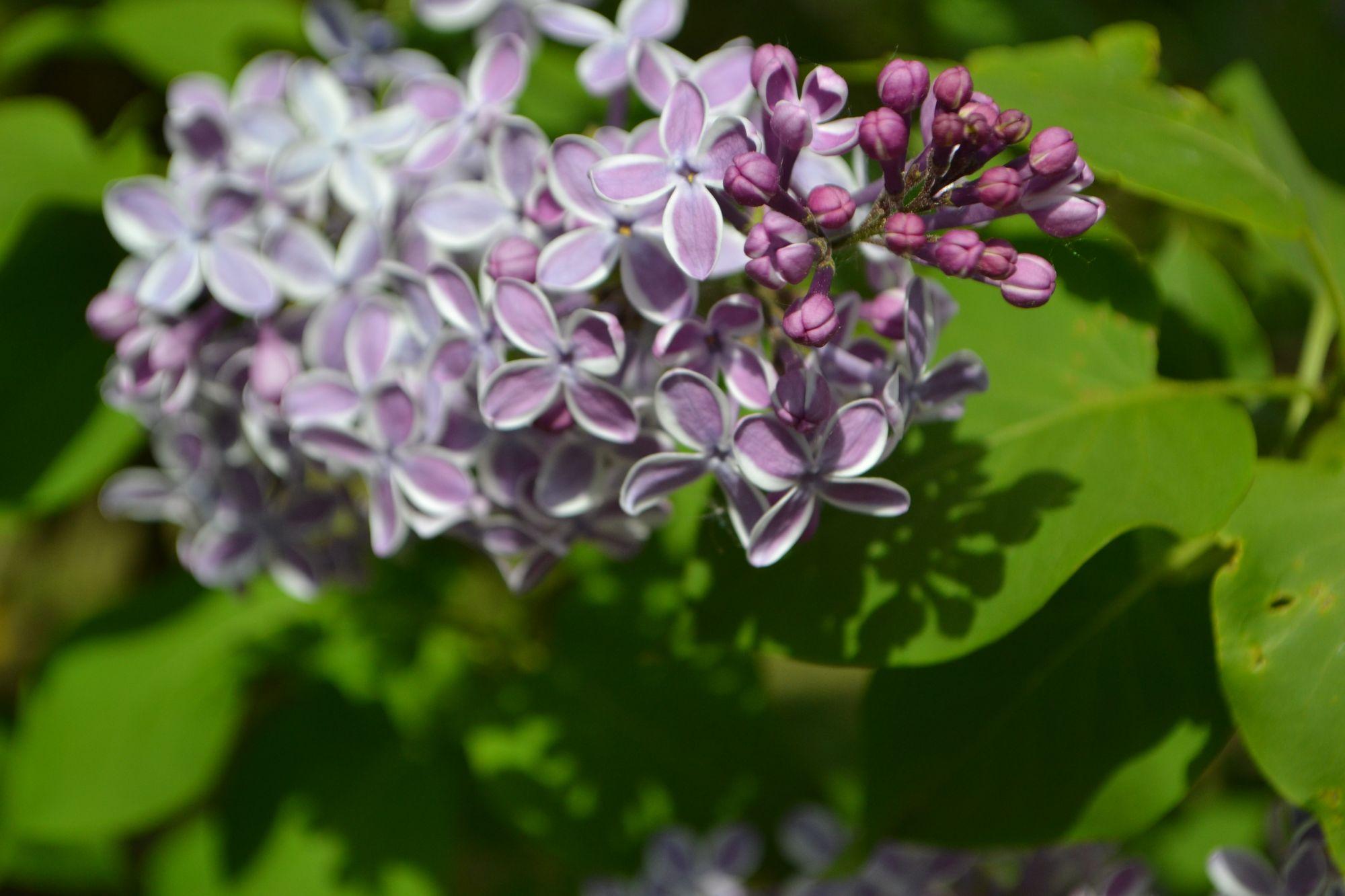 Paprastosios alyvos 'Gaistosais Sapnis' (Syringa vulgaris)
