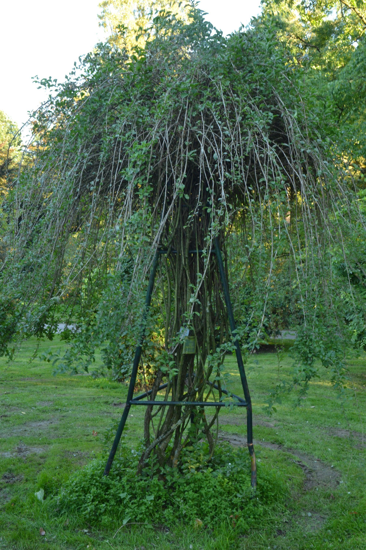 Rusinis ožerškis (Lycium rhutenicum)