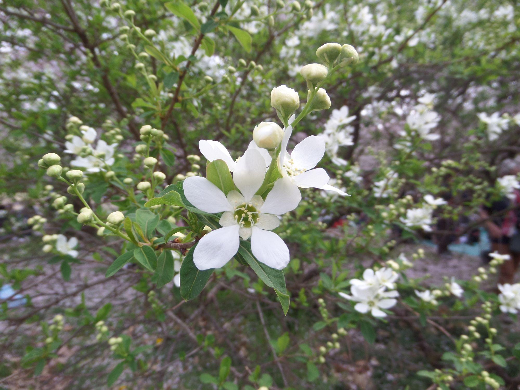 Trumpakotė egzochorda (Exochorda serratifolia)