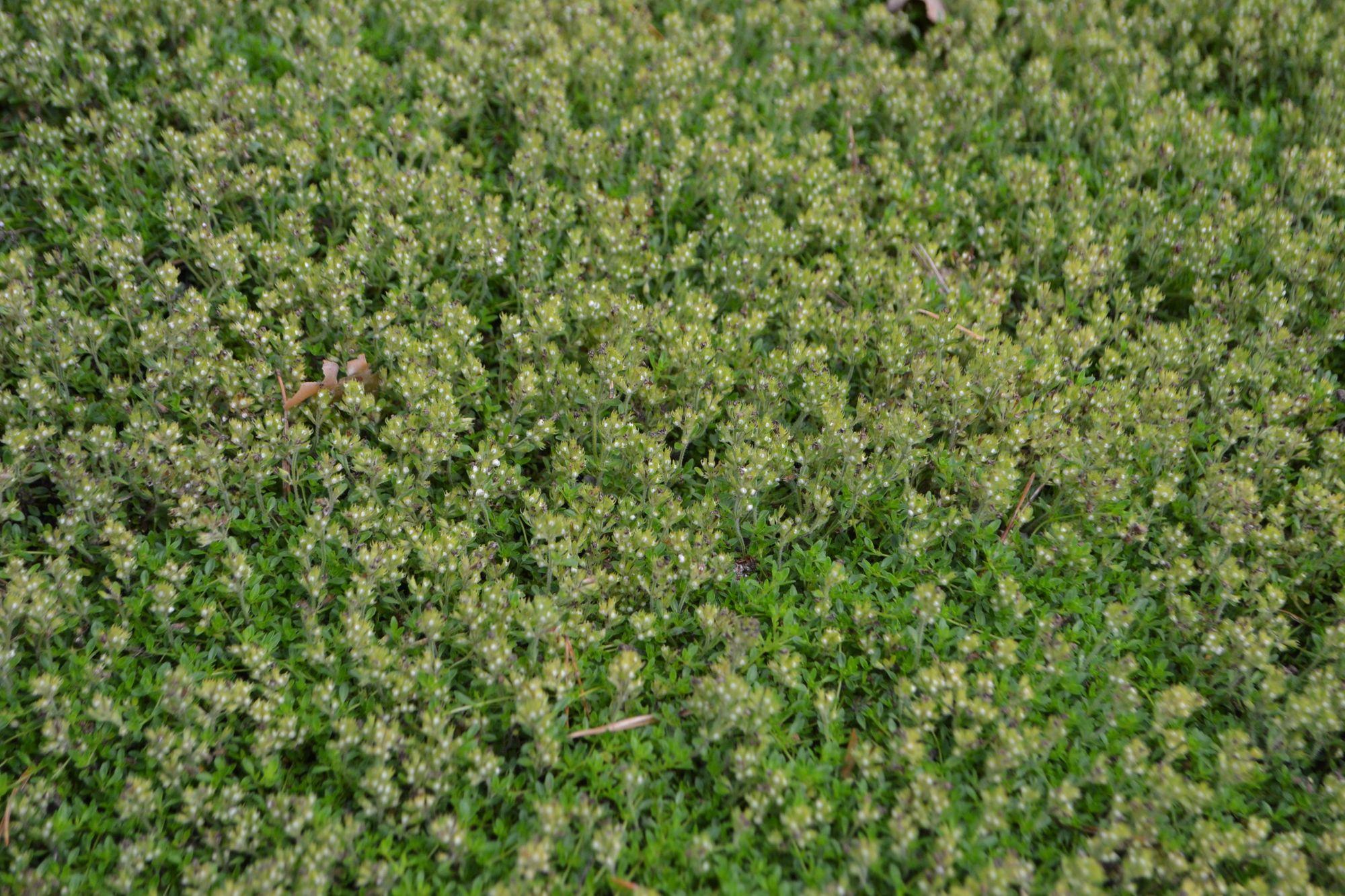 Ankstyvasis čiobrelis 'Albiflorus' (Thymus praecox)