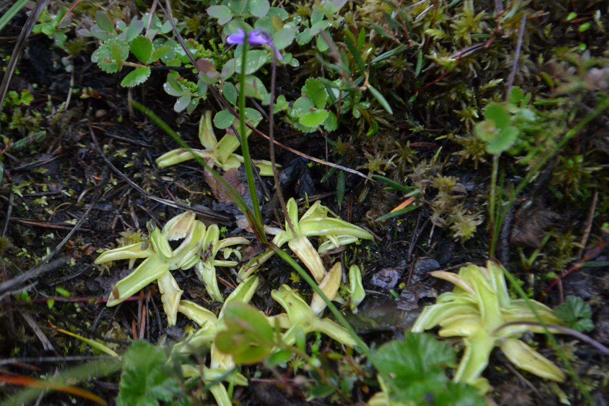 Paprastoji tuklė (Pinguicula vulgaris)