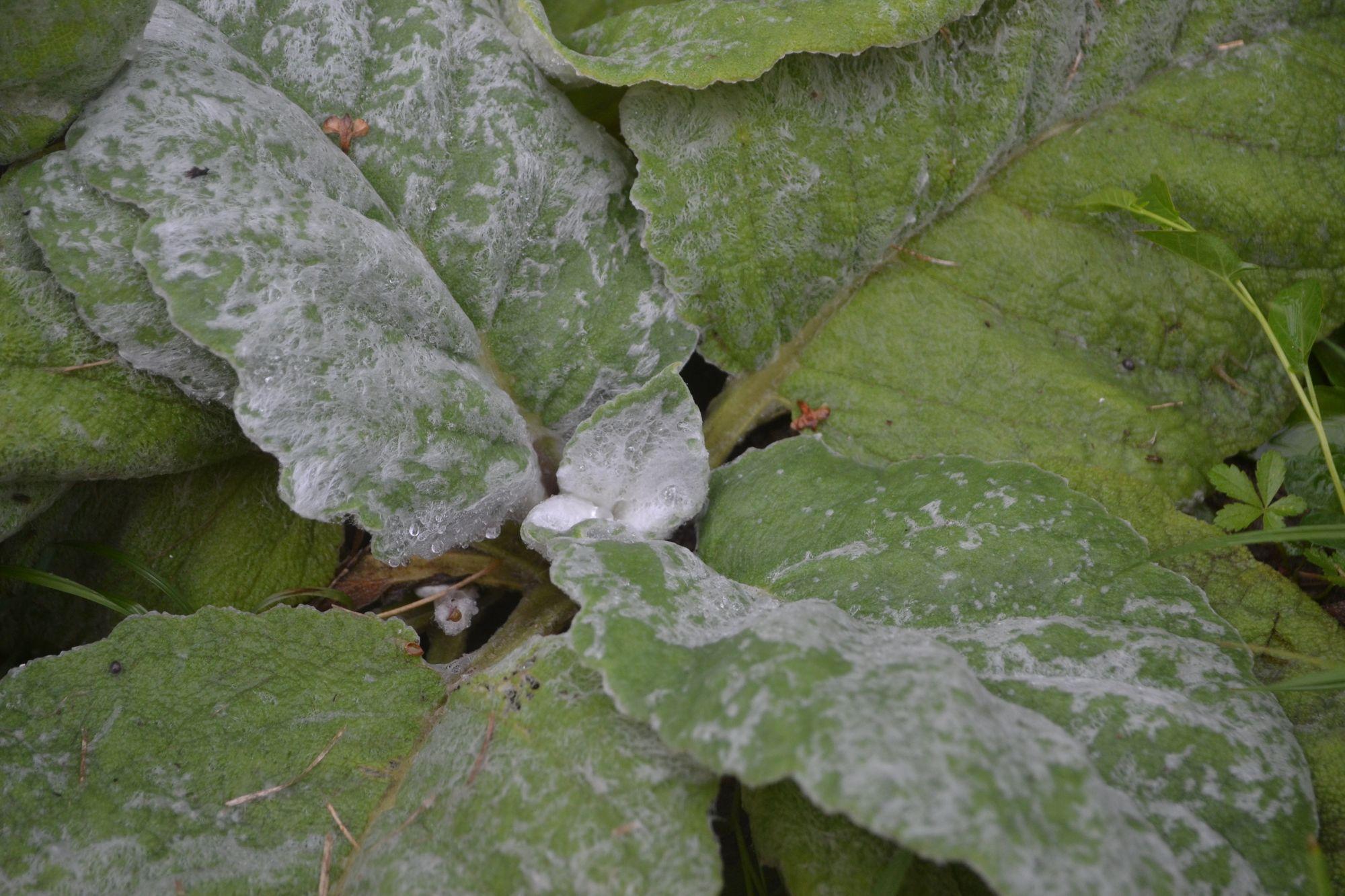 Sidabrinis šalavijas (Salvia argentea)