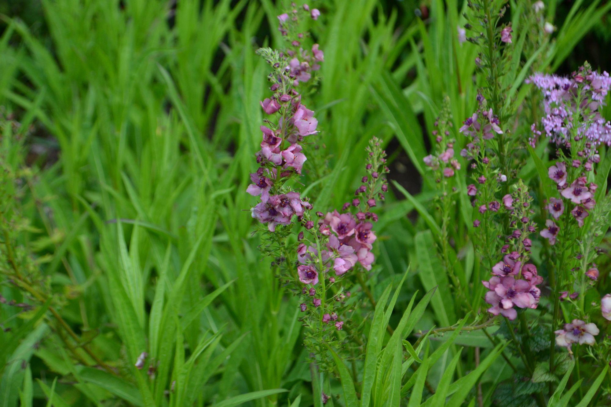 Tūbė 'Southern Charm' (Verbascum hybridum)