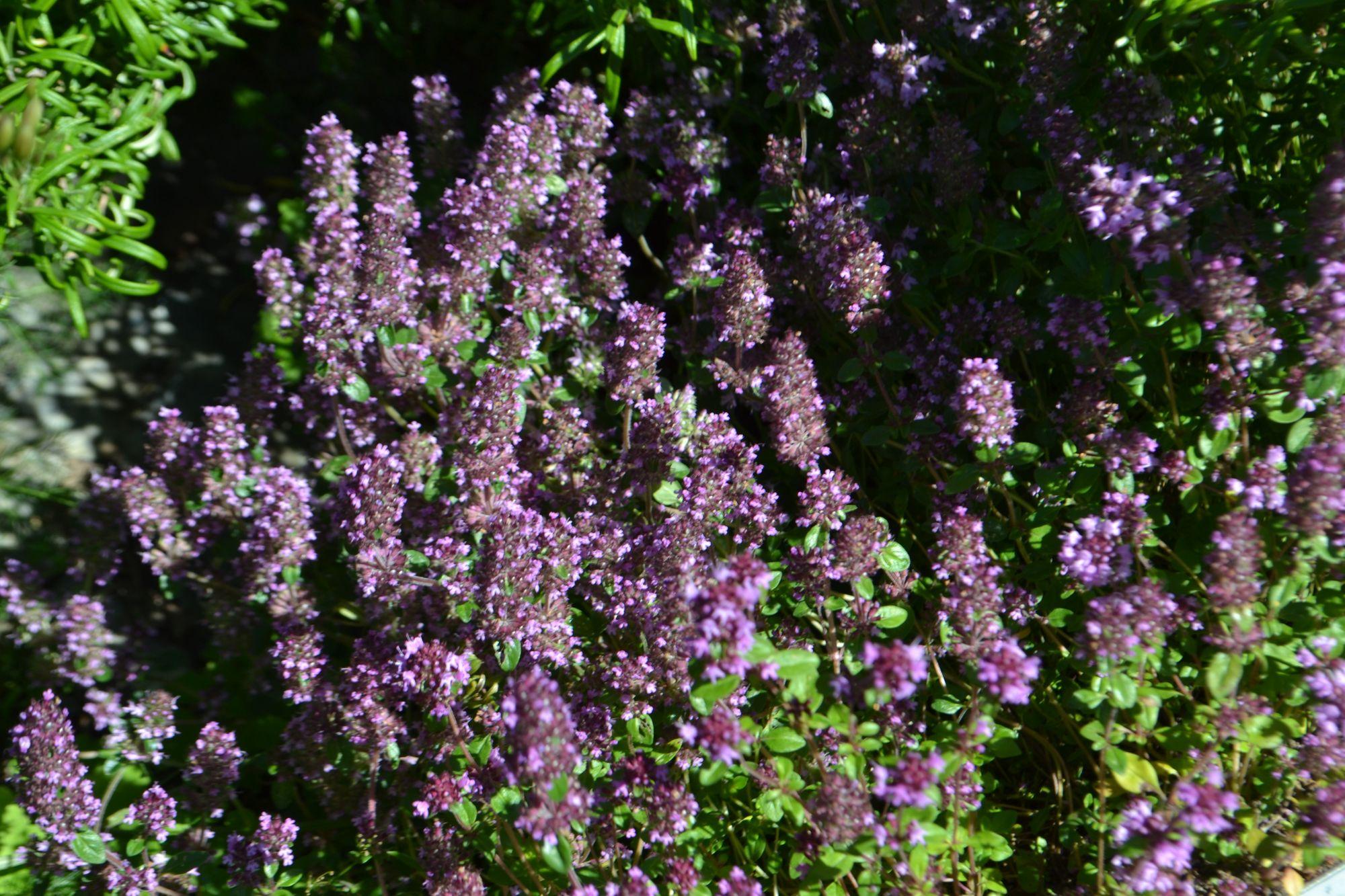 Paprastasis čiobrelis, porūšis serpyllum (Thymus serpyllum, ssp. serpylum)