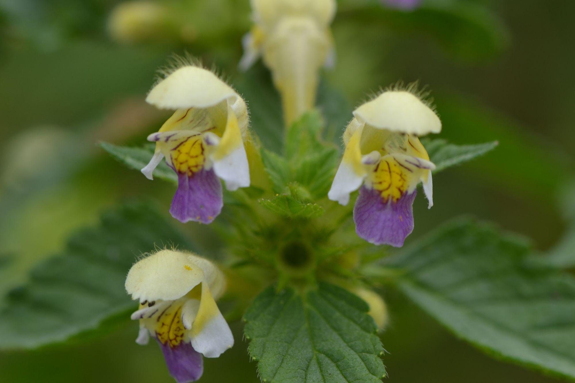 Geltonžiedė aklė (Galeopsis speciosa)