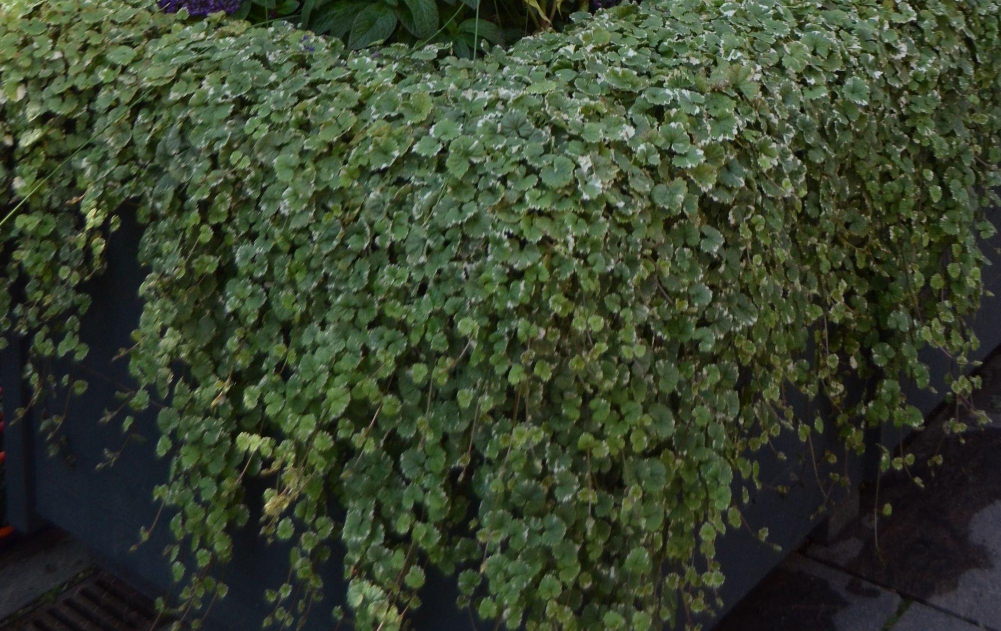 Šliaužiančioji tramažolė 'Variegata' (Glechoma hederacea)