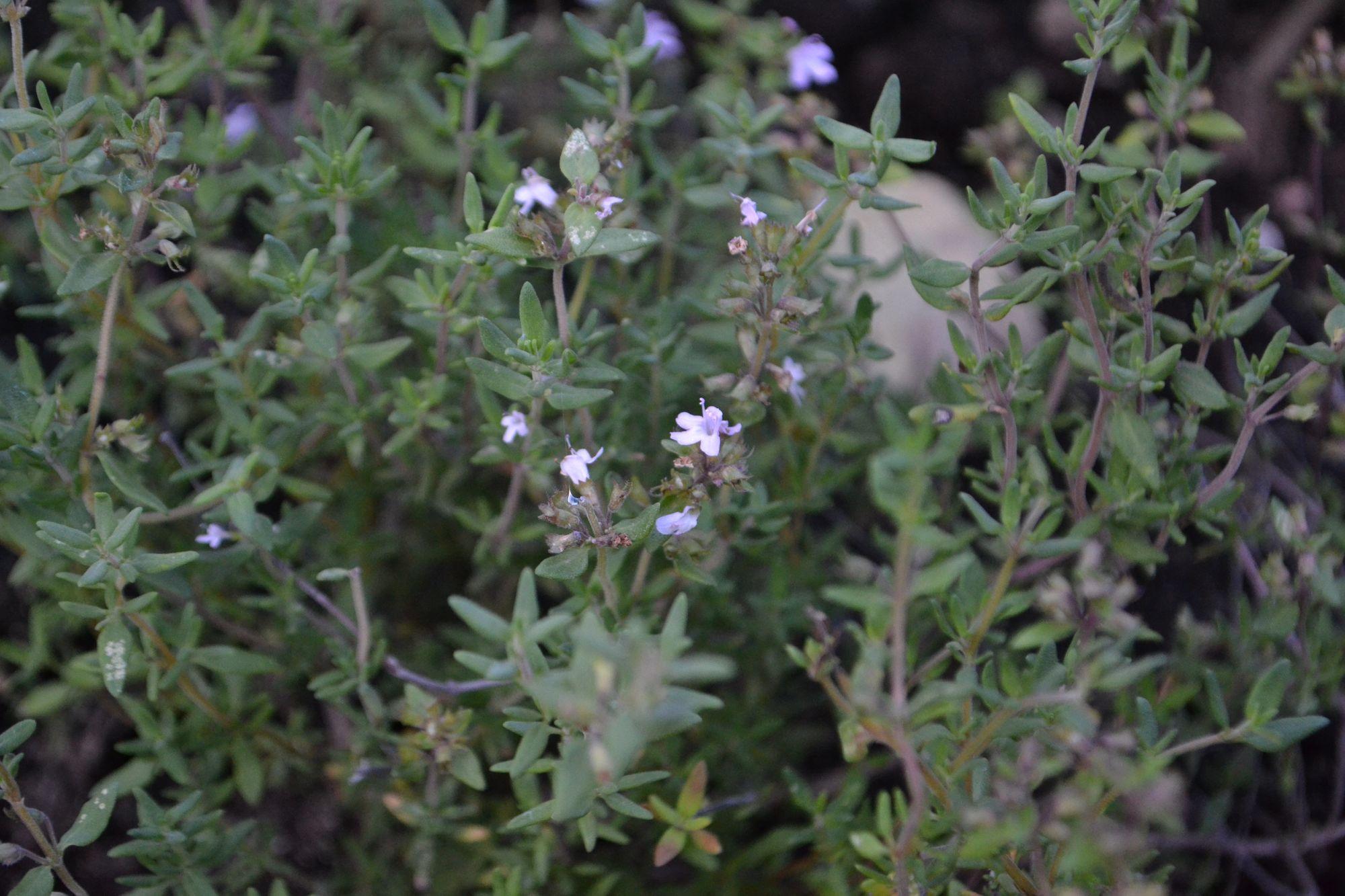 Vaistinis čiobrelis (Thymus vulgaris)