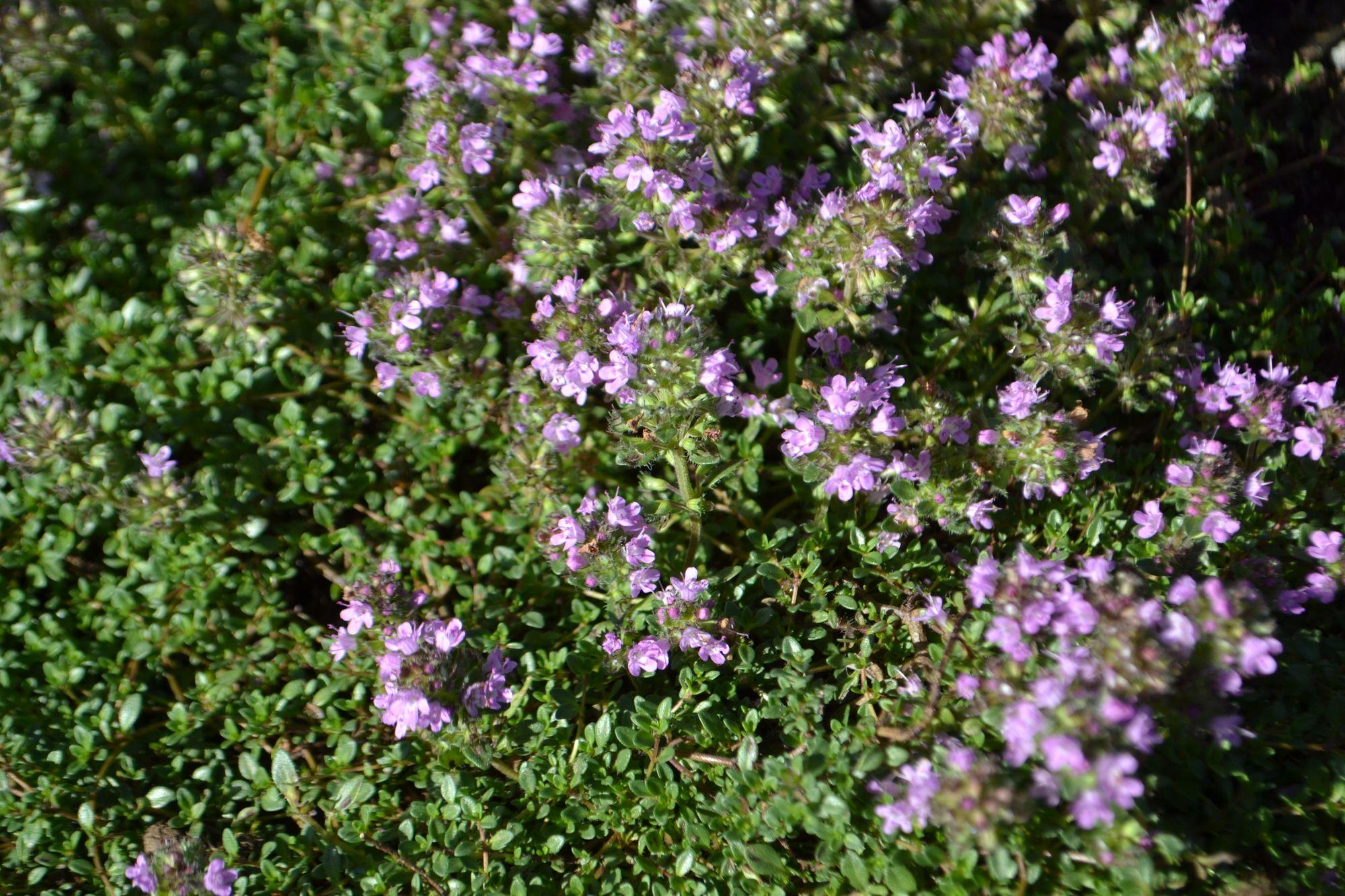 Anktyvasis čiobrelis, britaninis porūšis (Thymus praecox, ssp. brittanicus, syn. T. pseudolanuginosus)